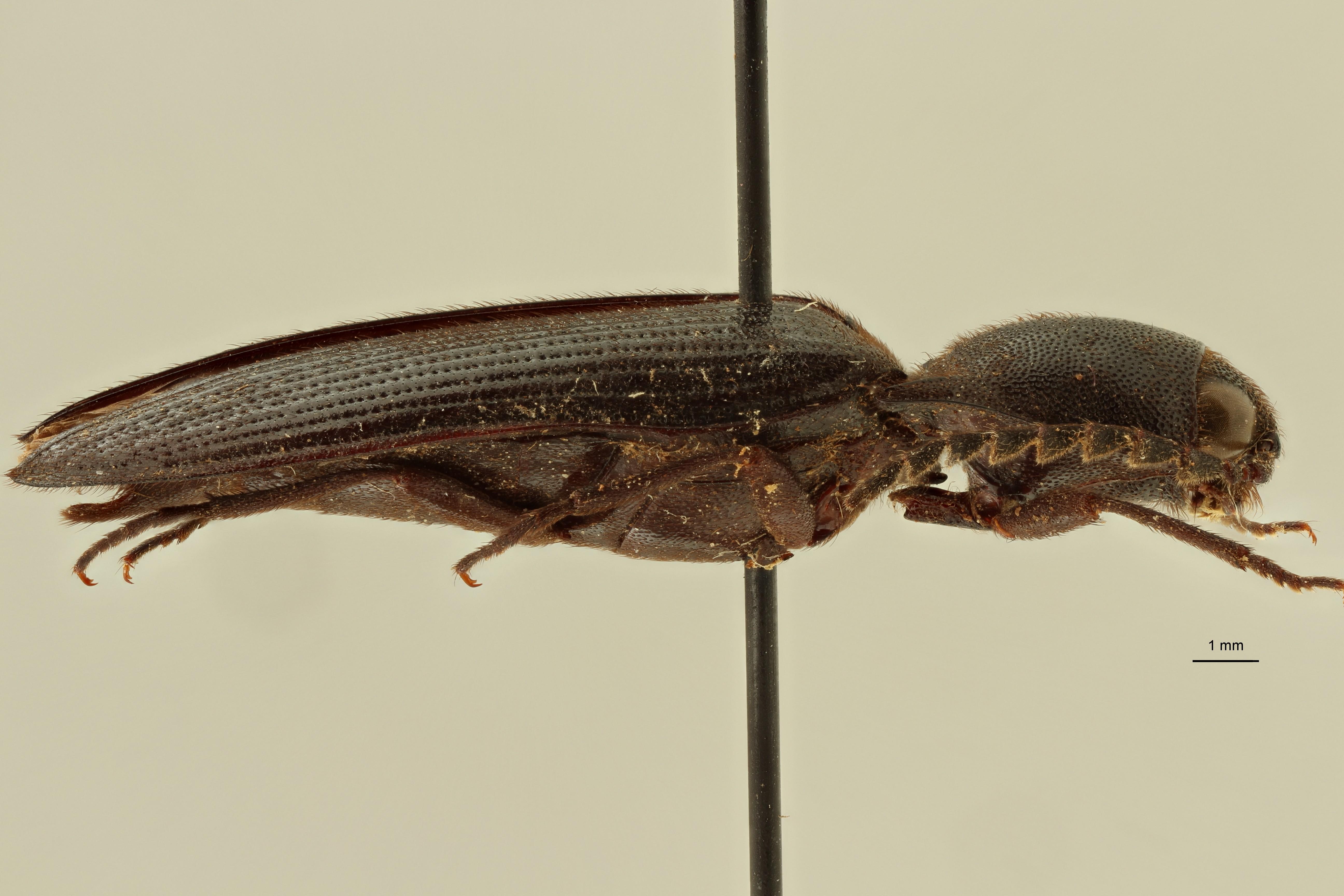 Anisomerus seydeli pt L ZS PMax Scaled.jpeg