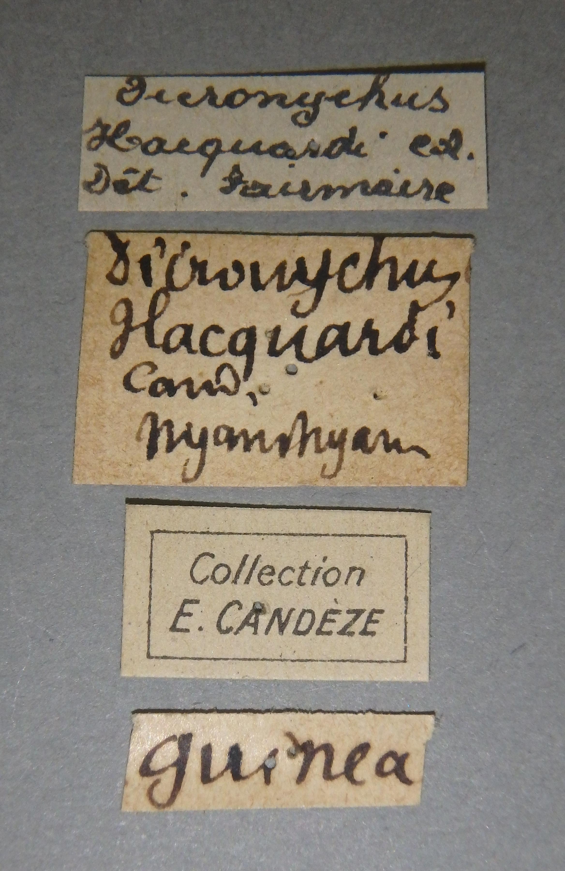 Dicronychus hacquardi nt5 D Lb.JPG
