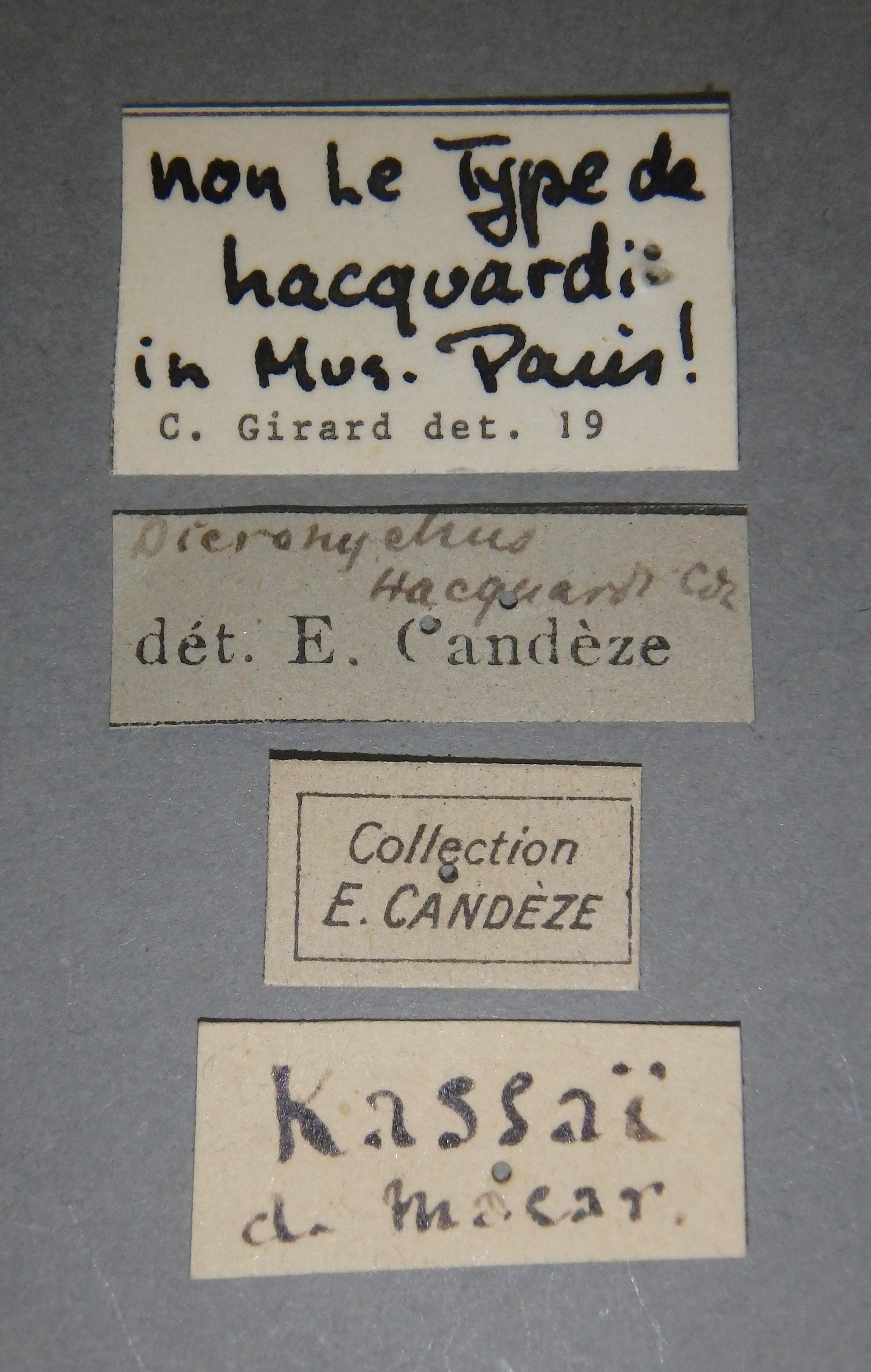 Dicronychus hacquardi nt1 D Lb.JPG