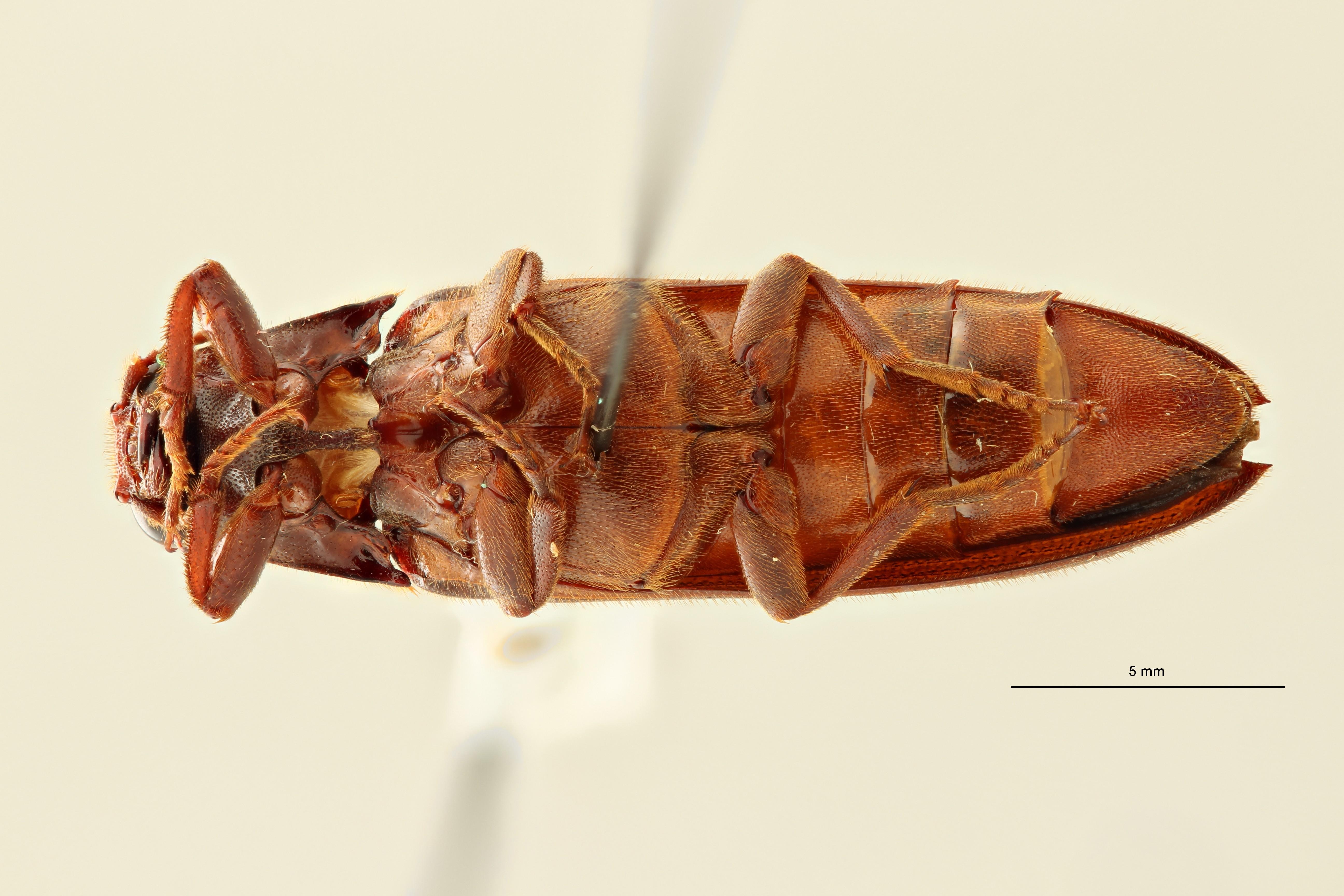 Eudicronychus distinctus var. fuscatus pt4 V ZS PMax Scaled.jpeg