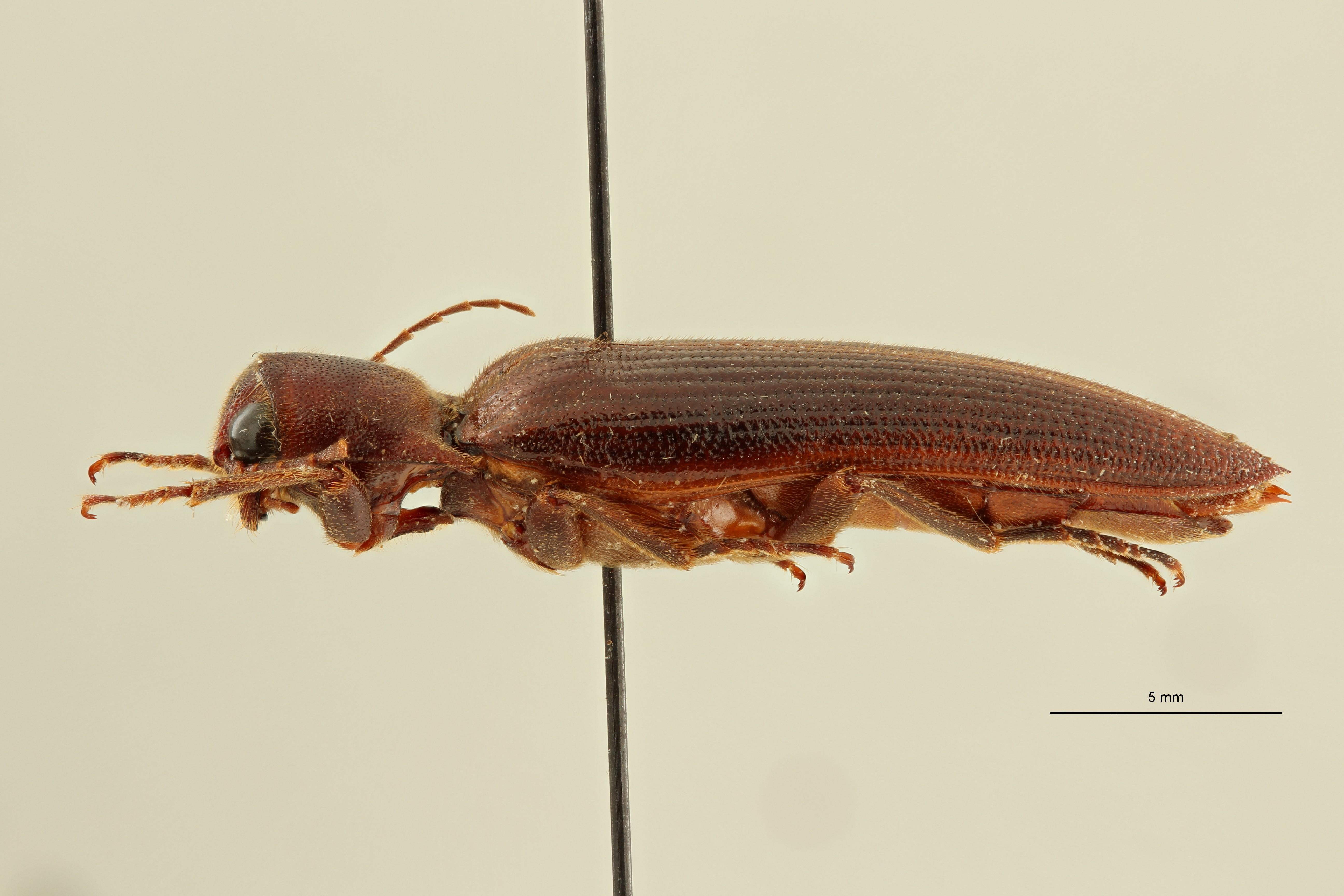 Eudicronychus distinctus var. fuscatus pt5 L ZS PMax Scaled.jpeg