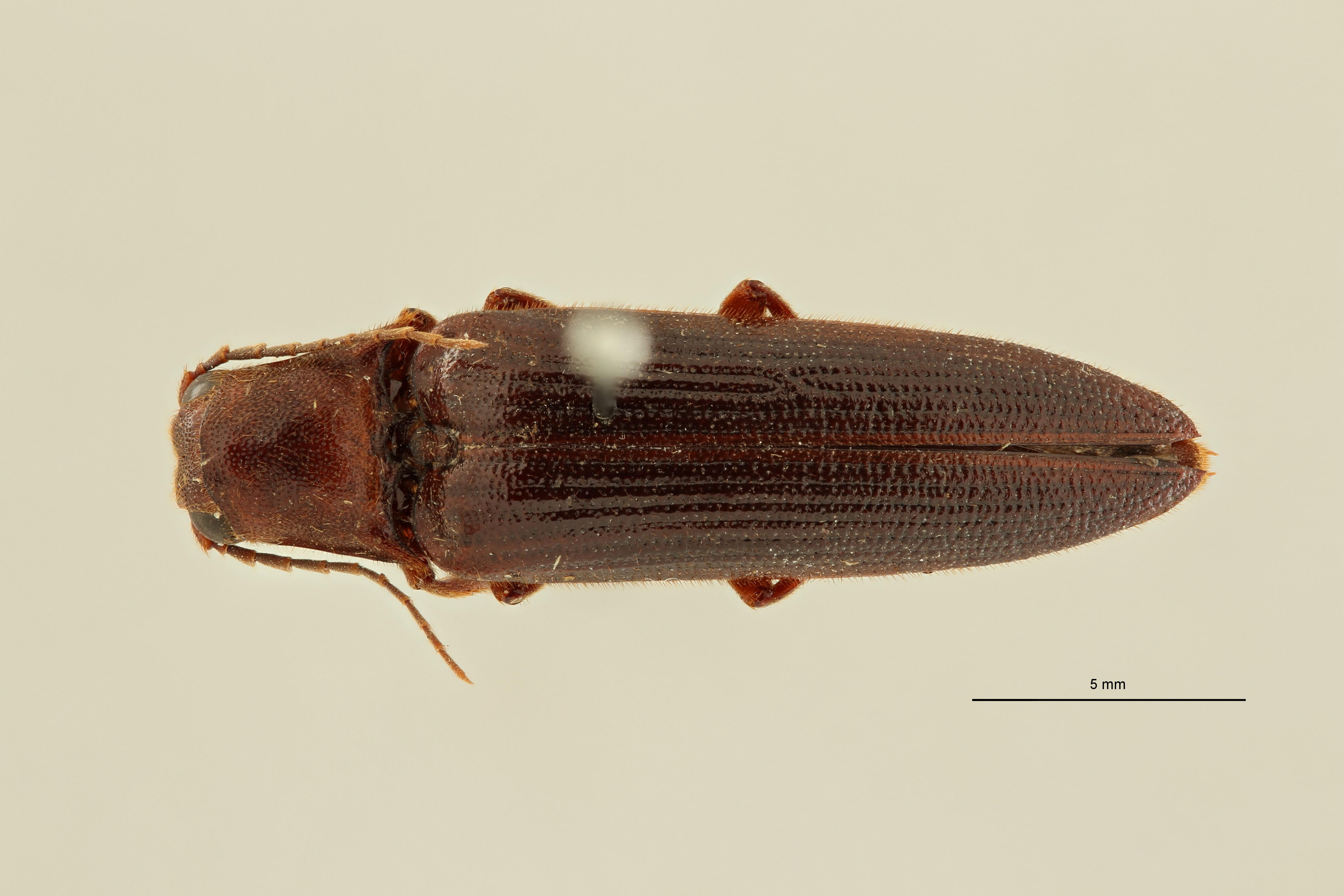 Eudicronychus distinctus var. fuscatus pt6 D ZS PMax Scaled.jpeg