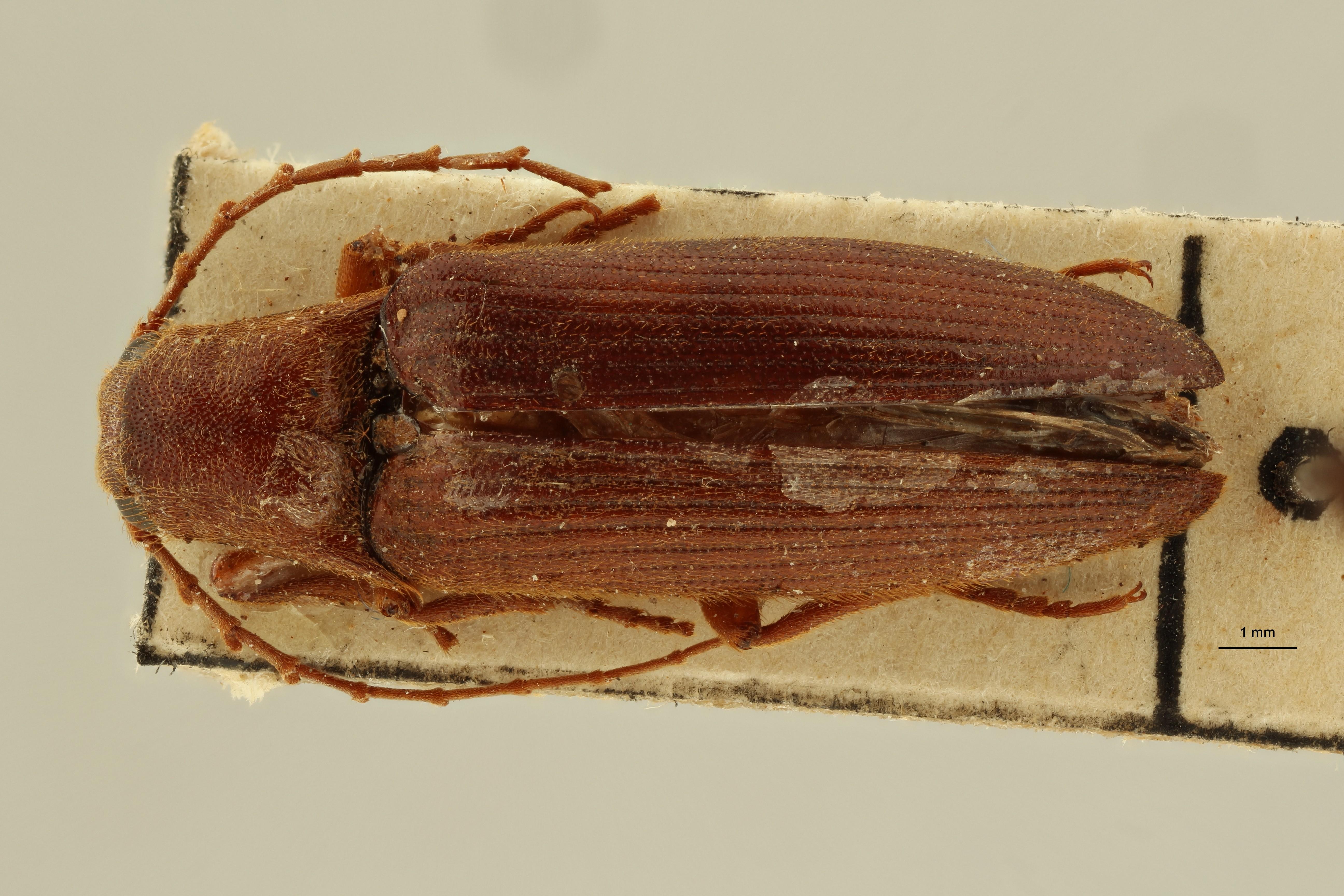 Eudicronychus luluanus pt1 M D ZS PMax Scaled.jpeg