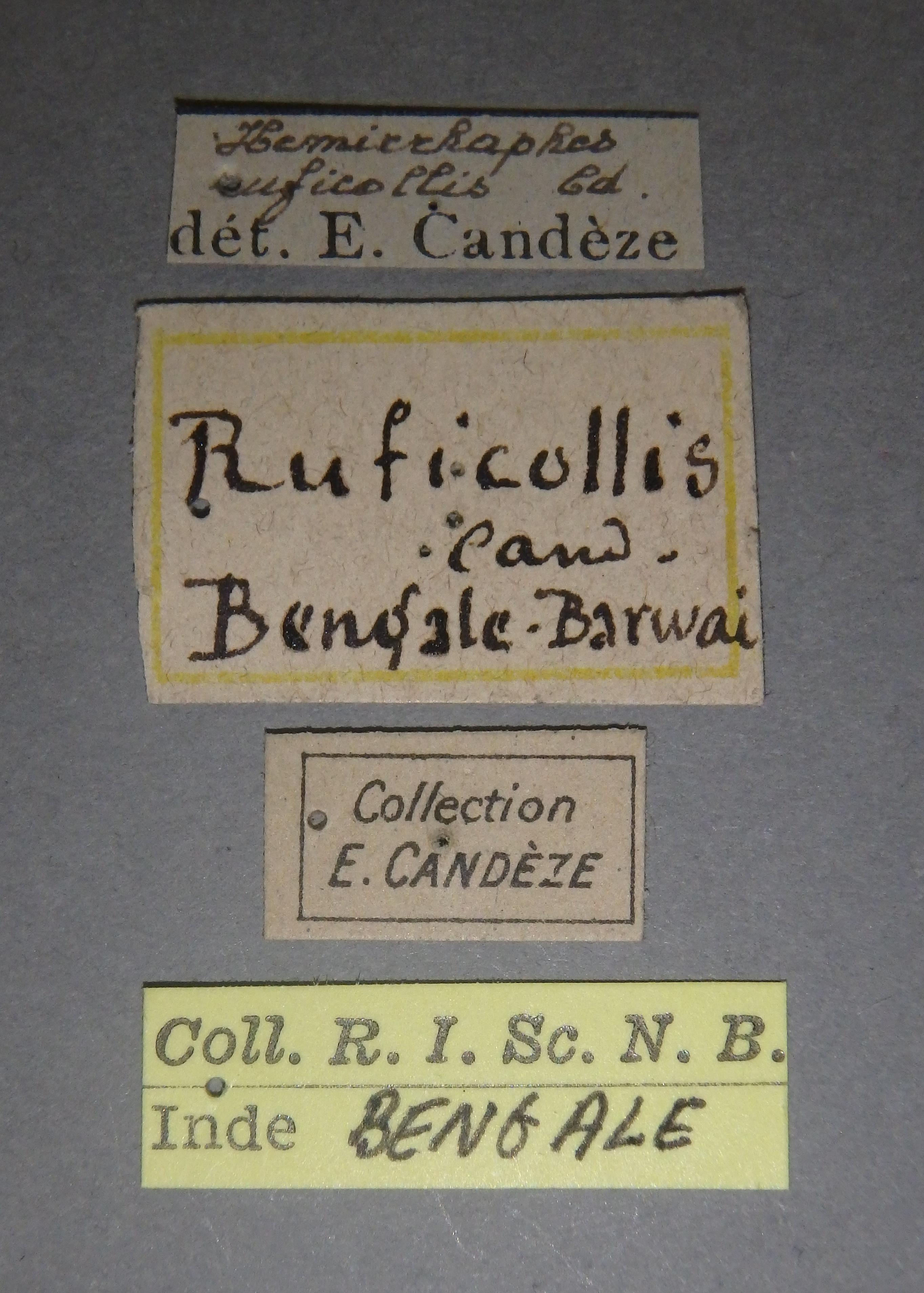 Arhaphes ruficollis nt1 Lb.JPG