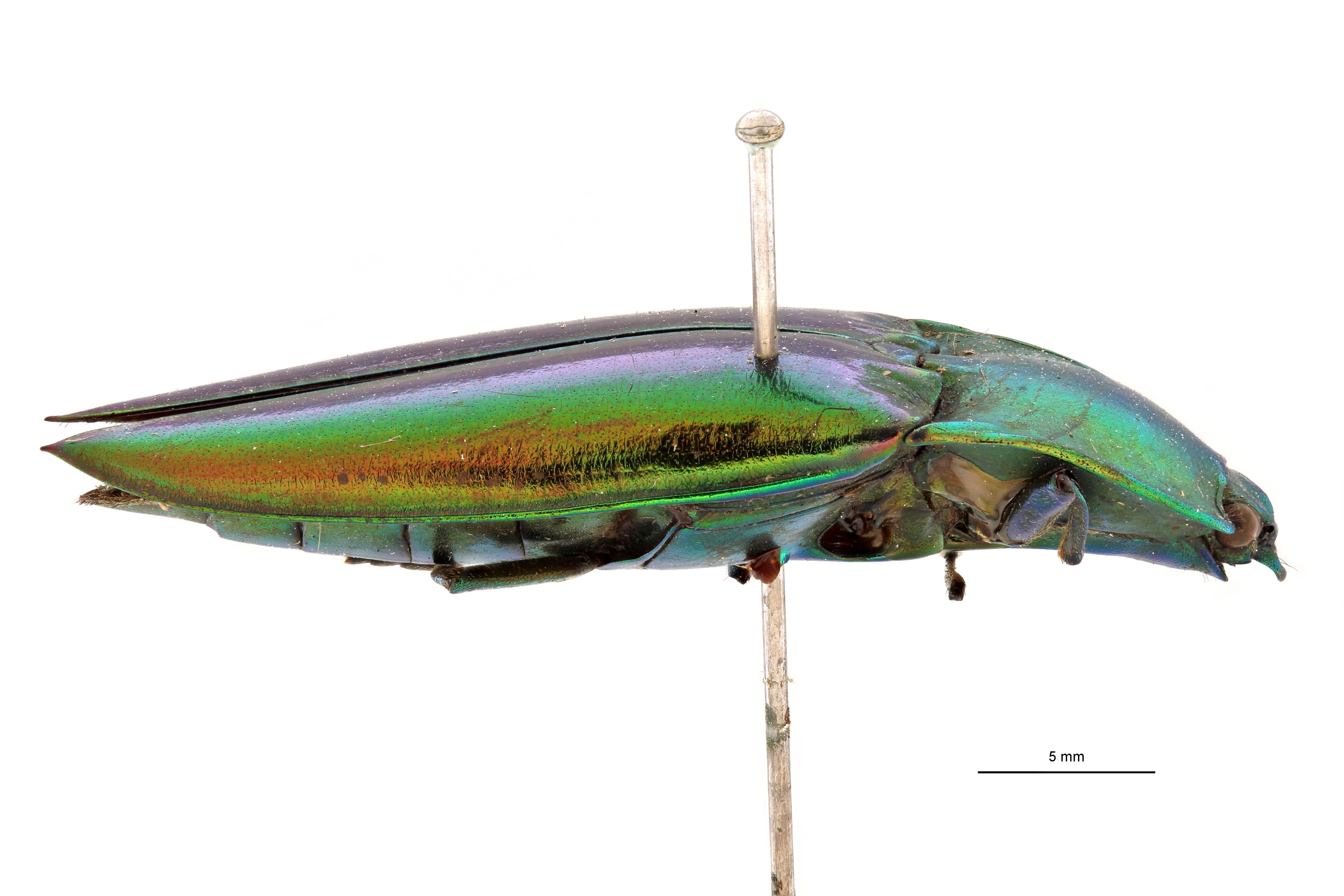 Campsosternus carinatus t L.jpg