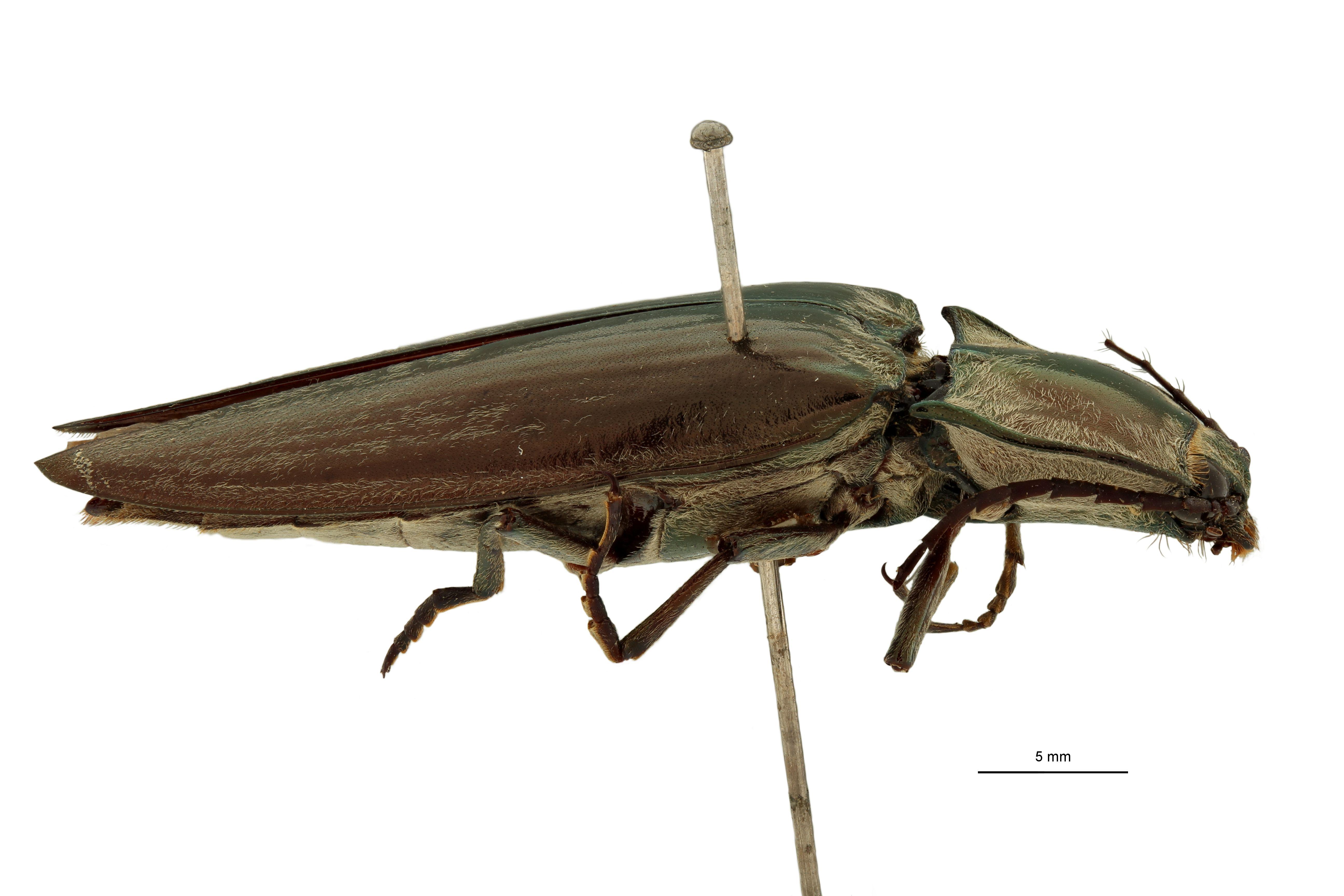 Campsosternus corbetti pt L.jpg