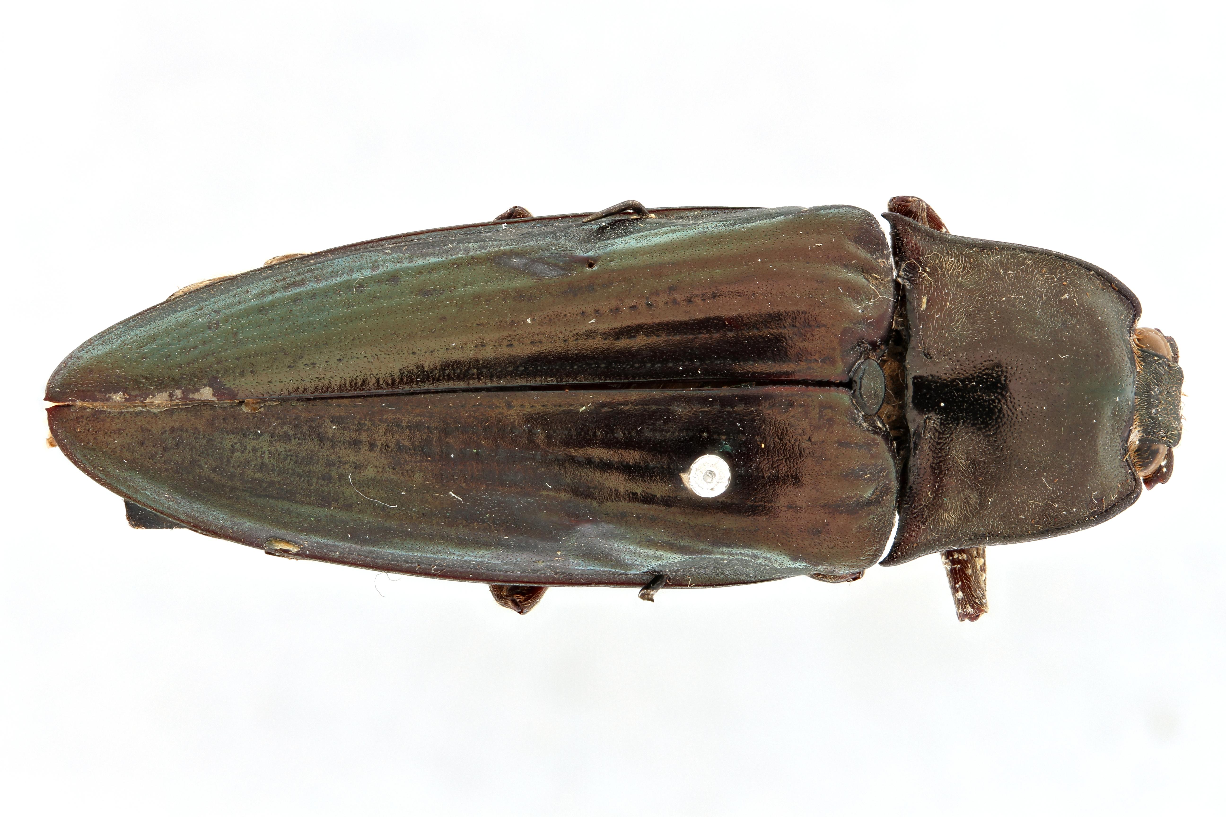 Campsosternus sulcatus t D.jpg