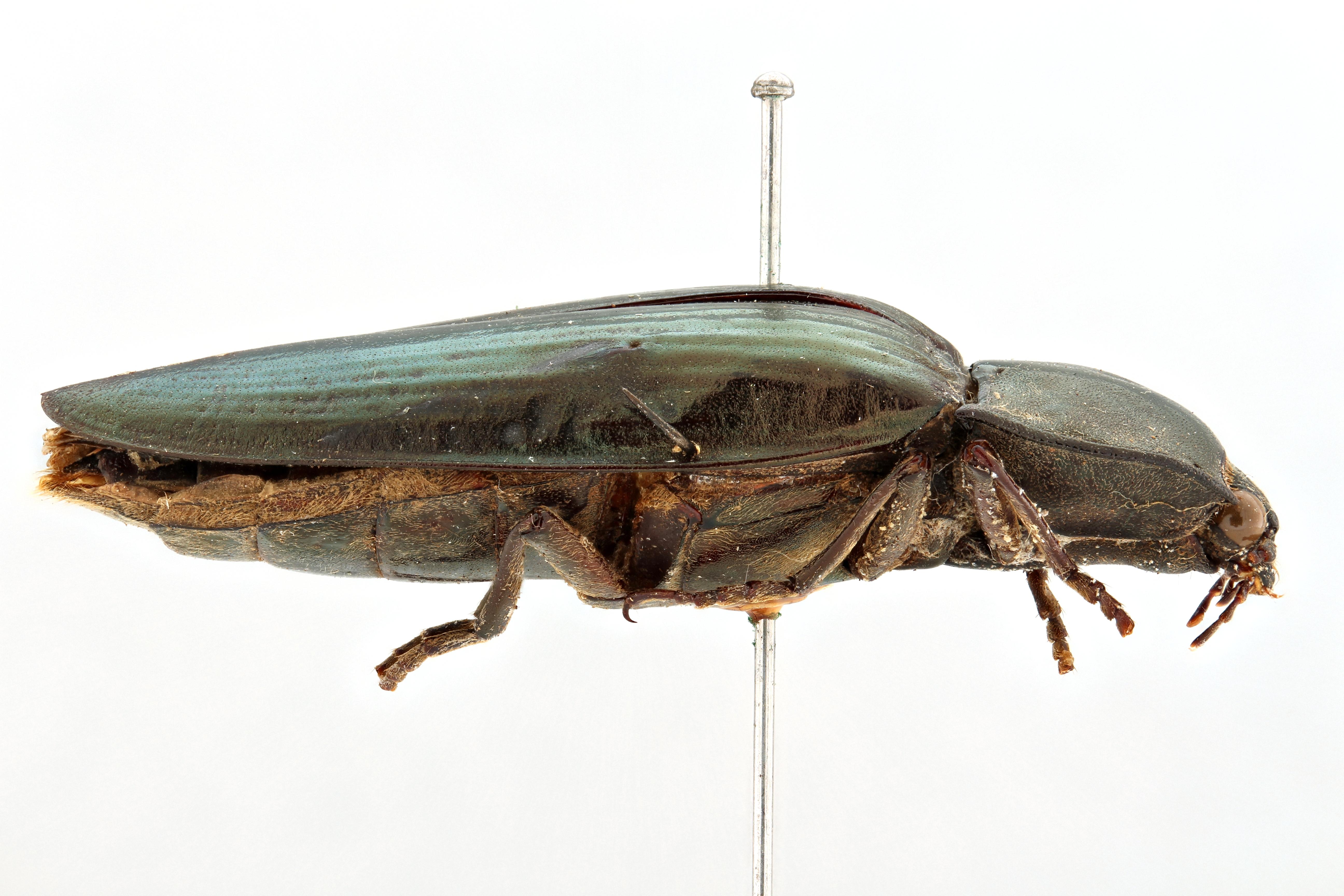Campsosternus sulcatus t L.jpg