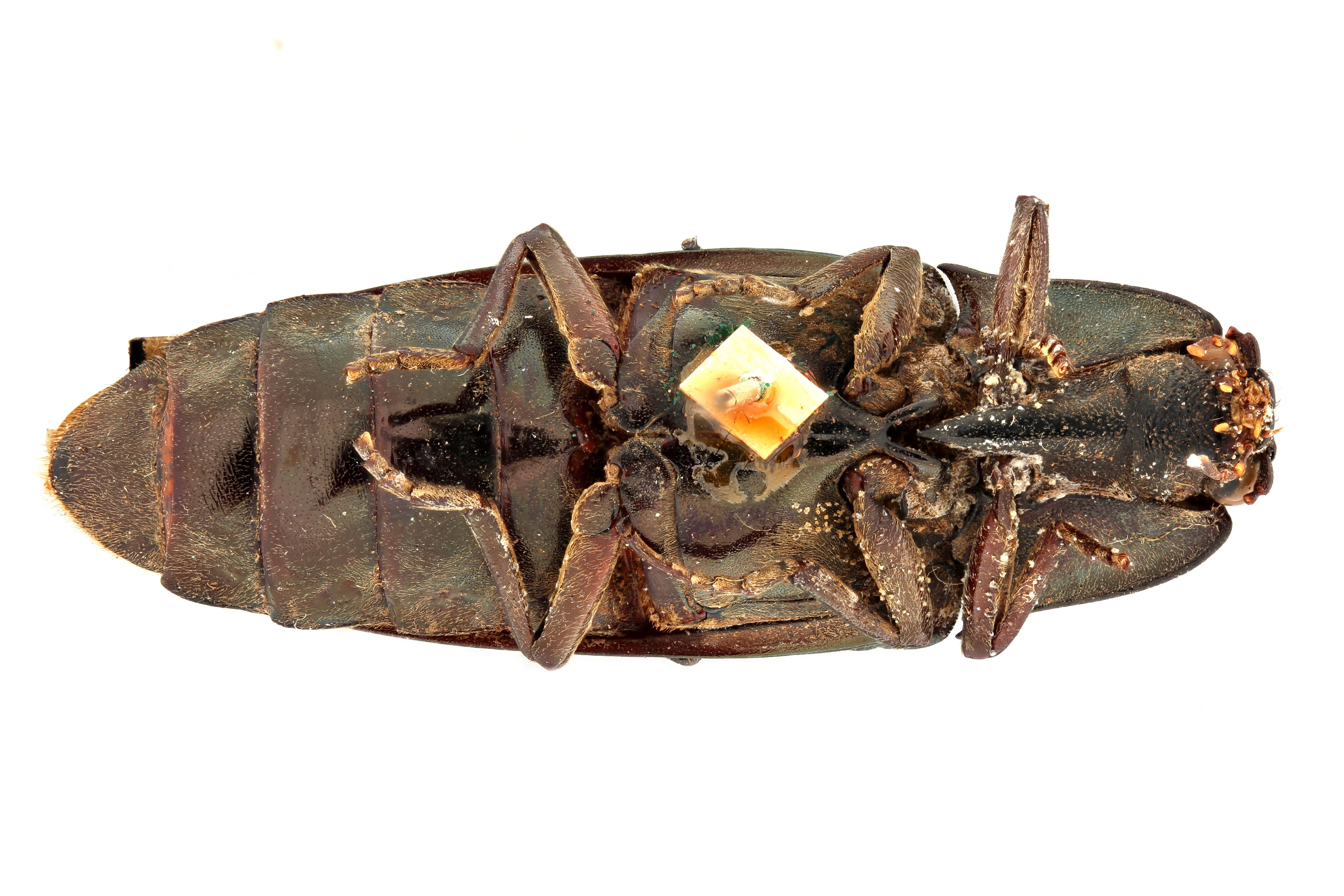 Campsosternus sulcatus t V.jpg