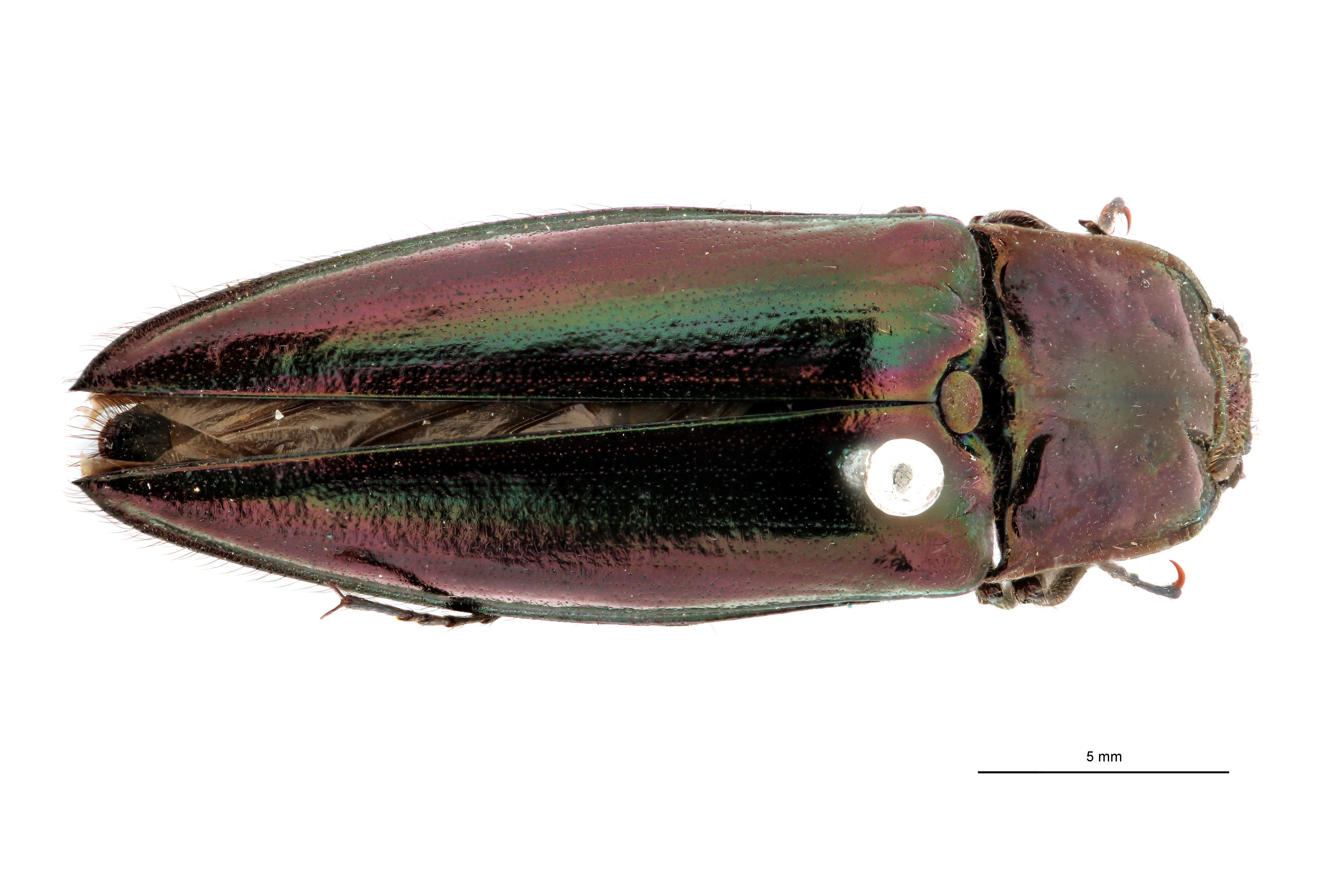 Campsosternus taeniatus pt D.jpg