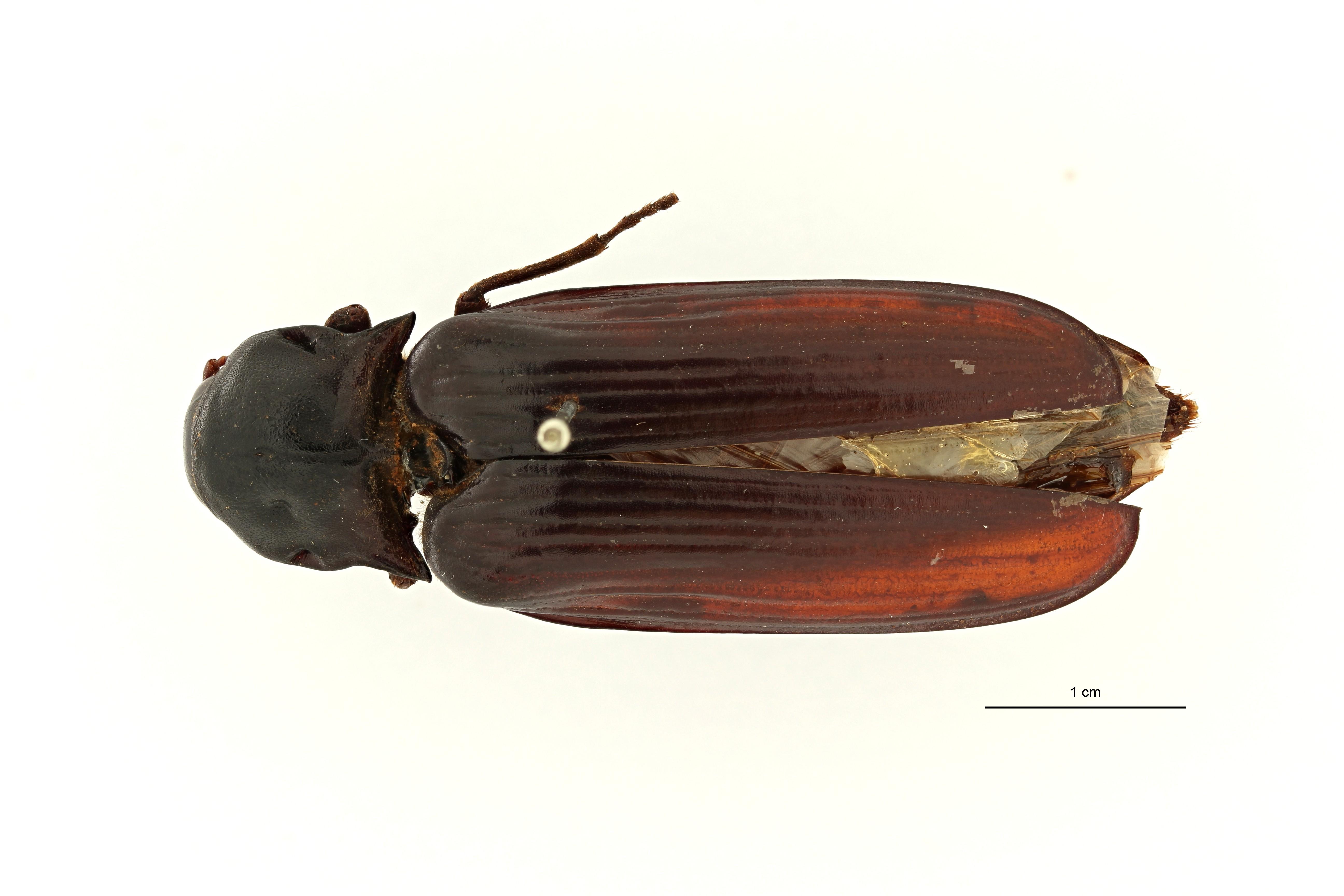 Tetralobus corrosus pt D ZS PMax Scaled.jpeg