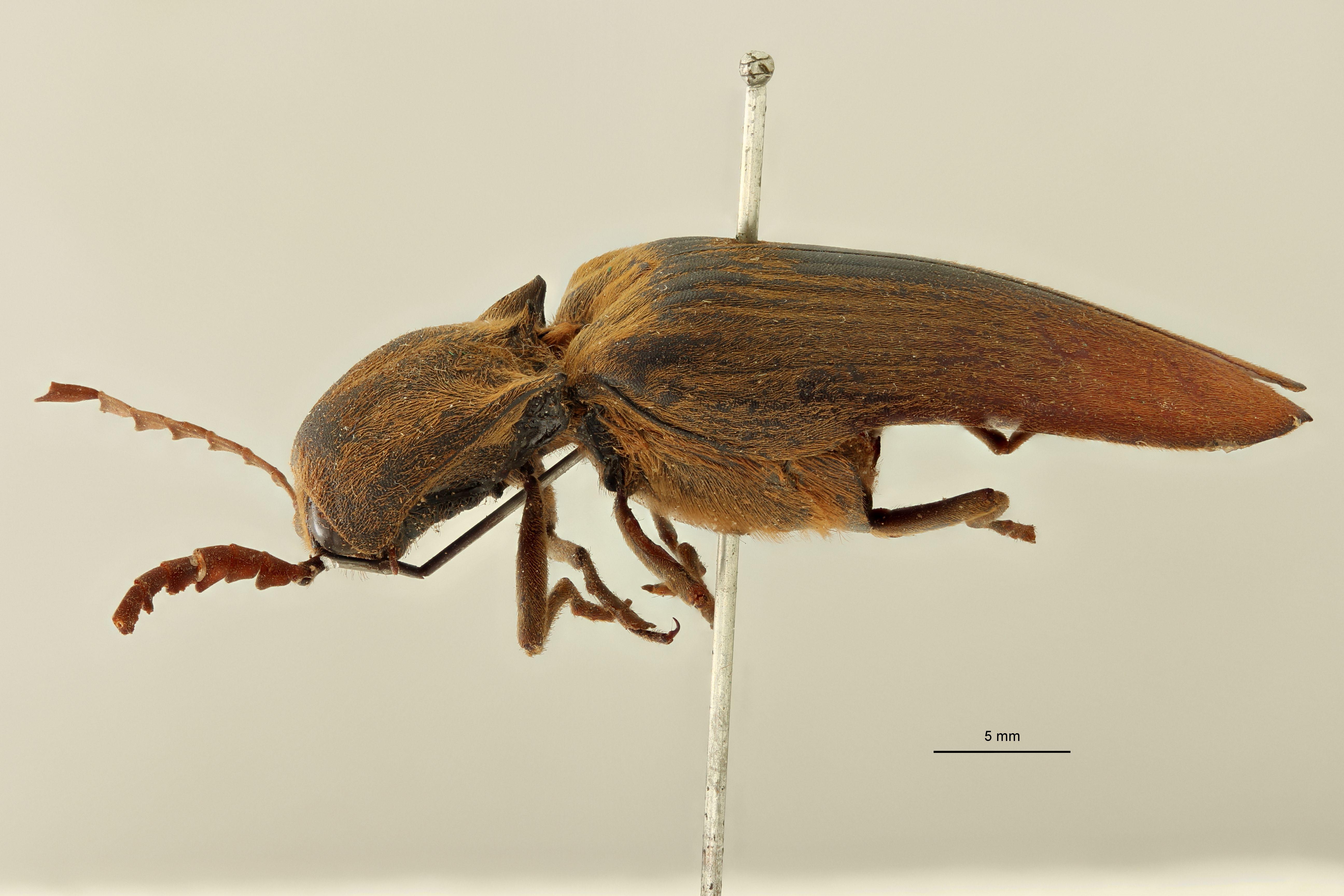 Tetralobus macrocerus M L.jpg