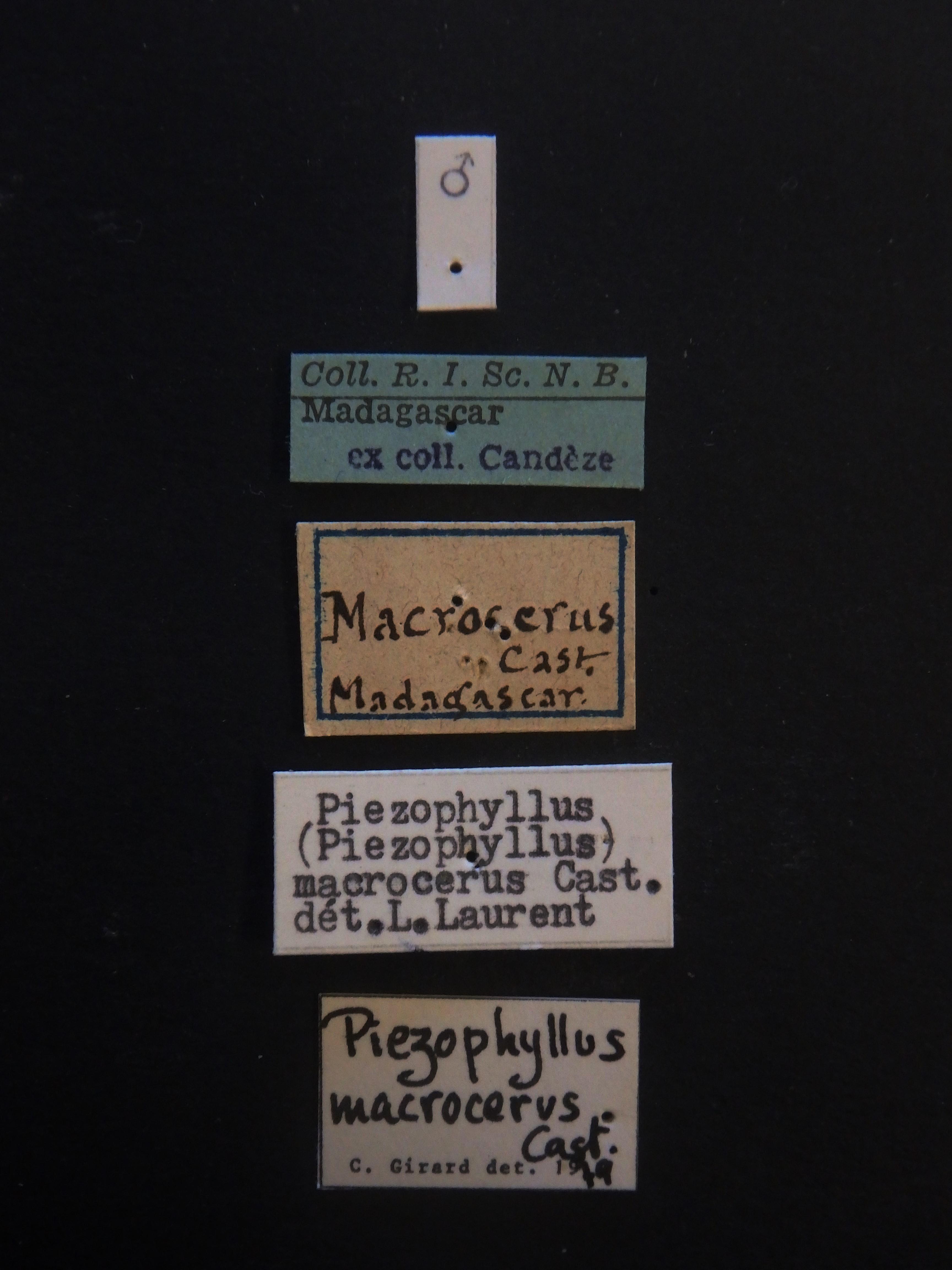 Tetralobus macrocerus M Labels.JPG