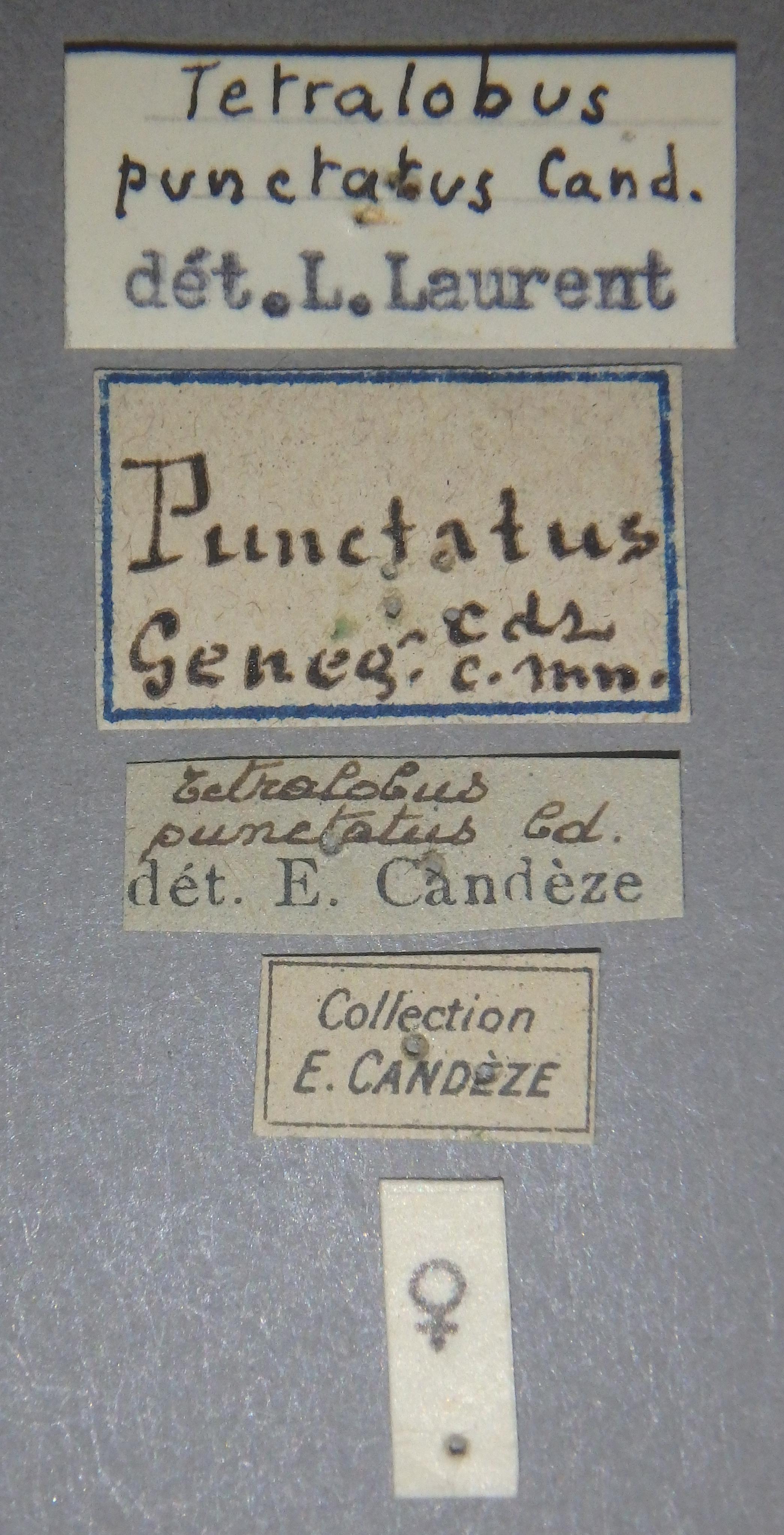 Tetralobus punctatus sp Lb.JPG