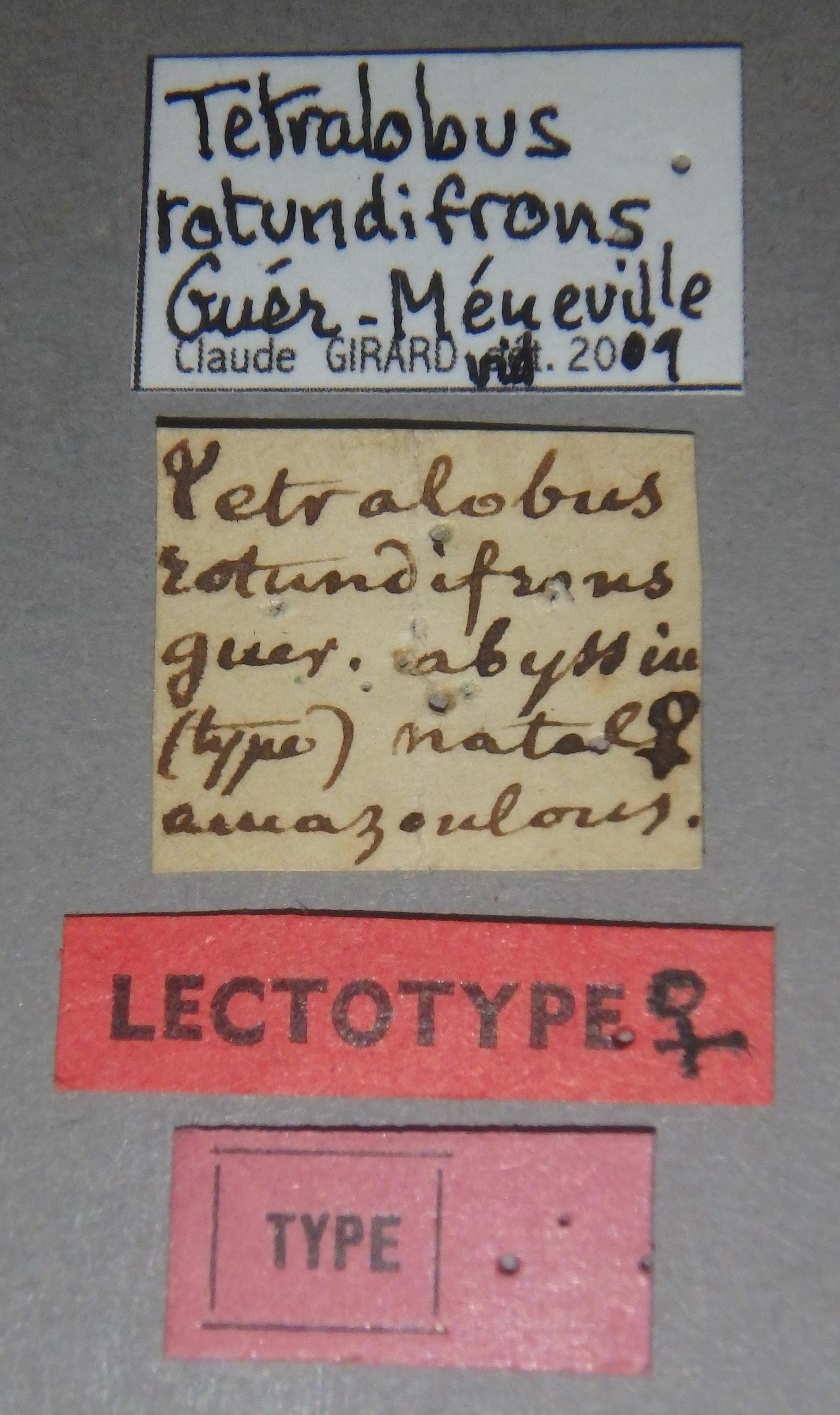 Tetralobus rotundifrons lt Lb.JPG