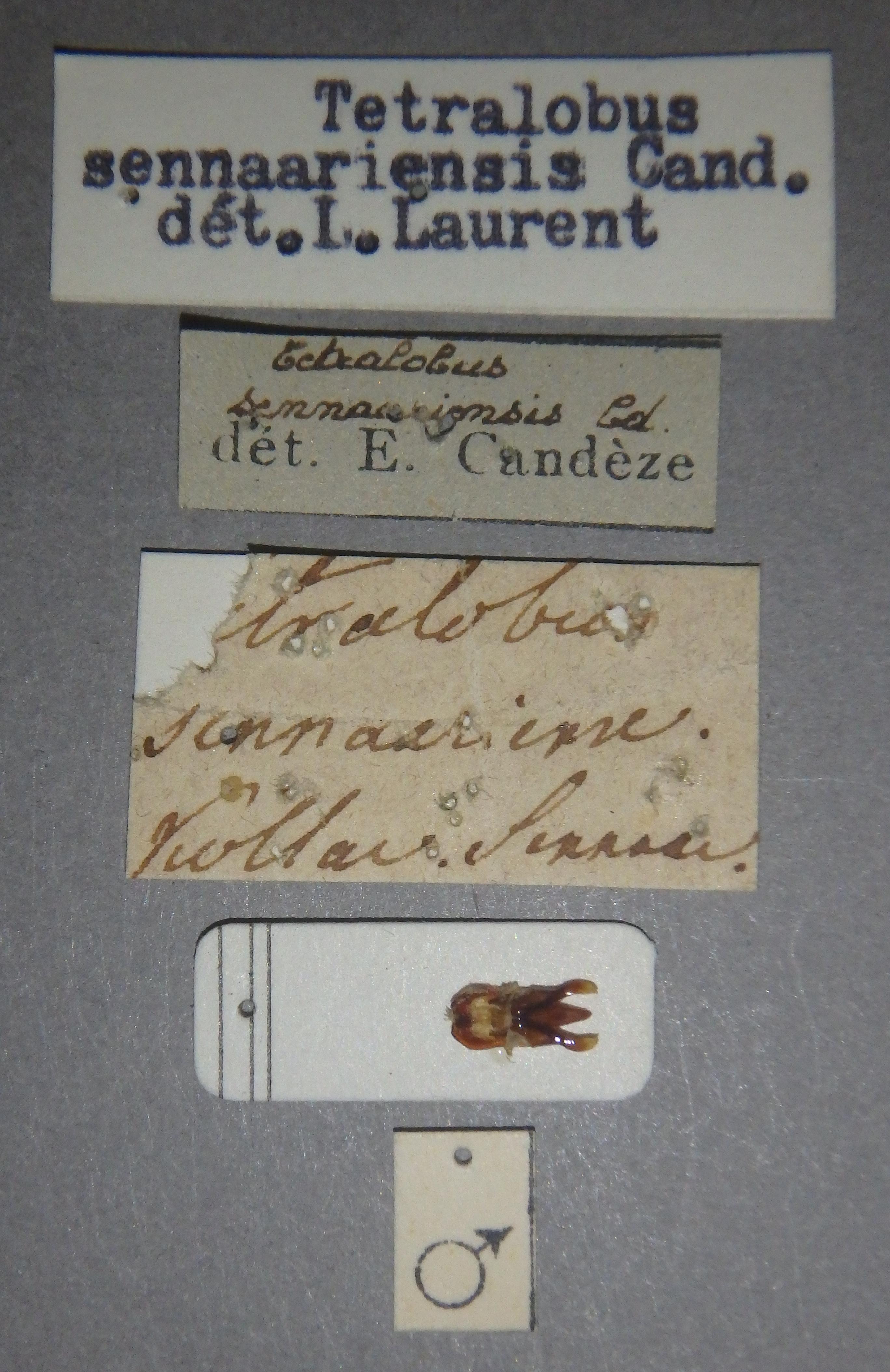 Tetralobus sennaariensis sp Lb.JPG