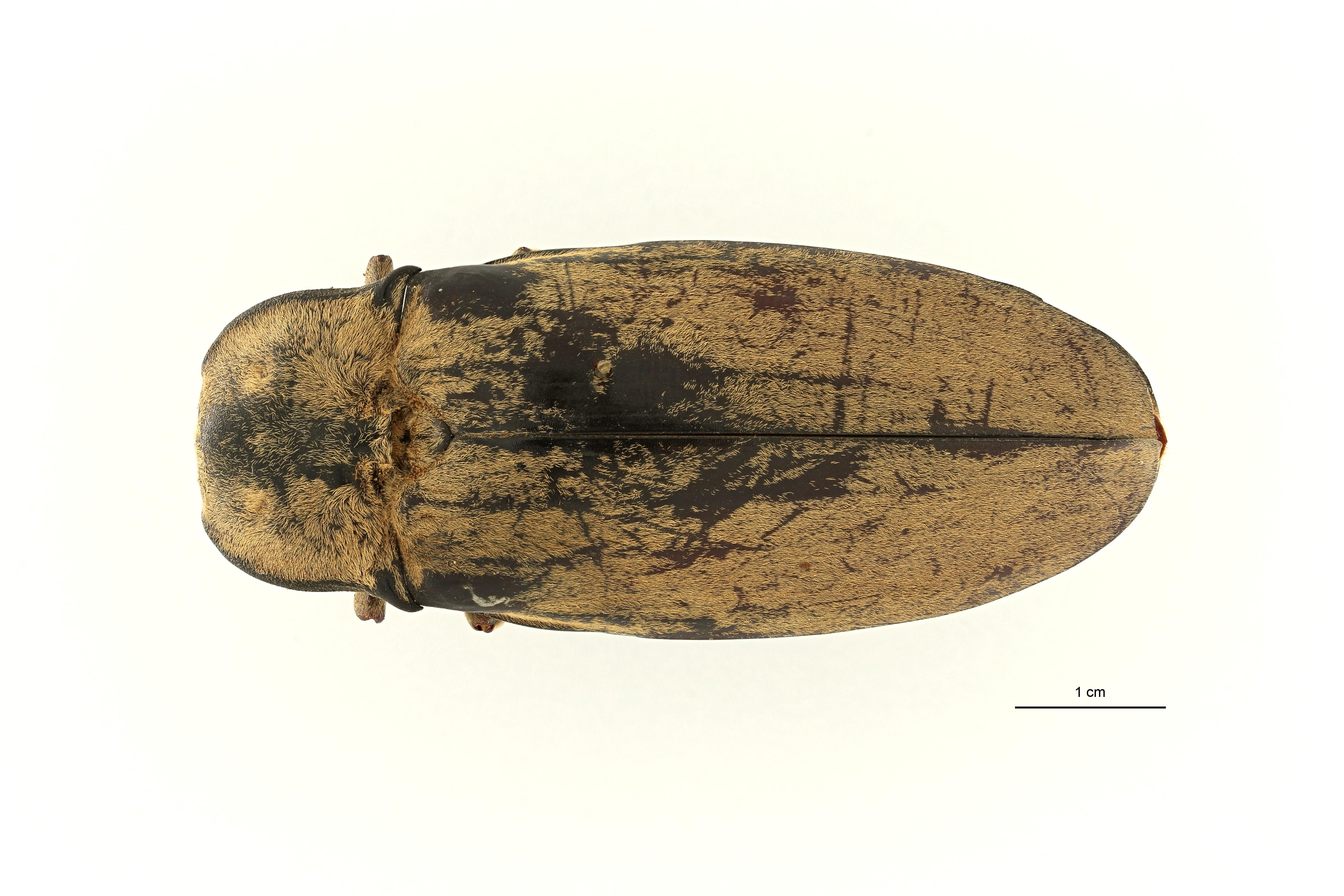 Tetralobus flabellicornis var cinereus t2 D ZS PMax Scaled.jpeg