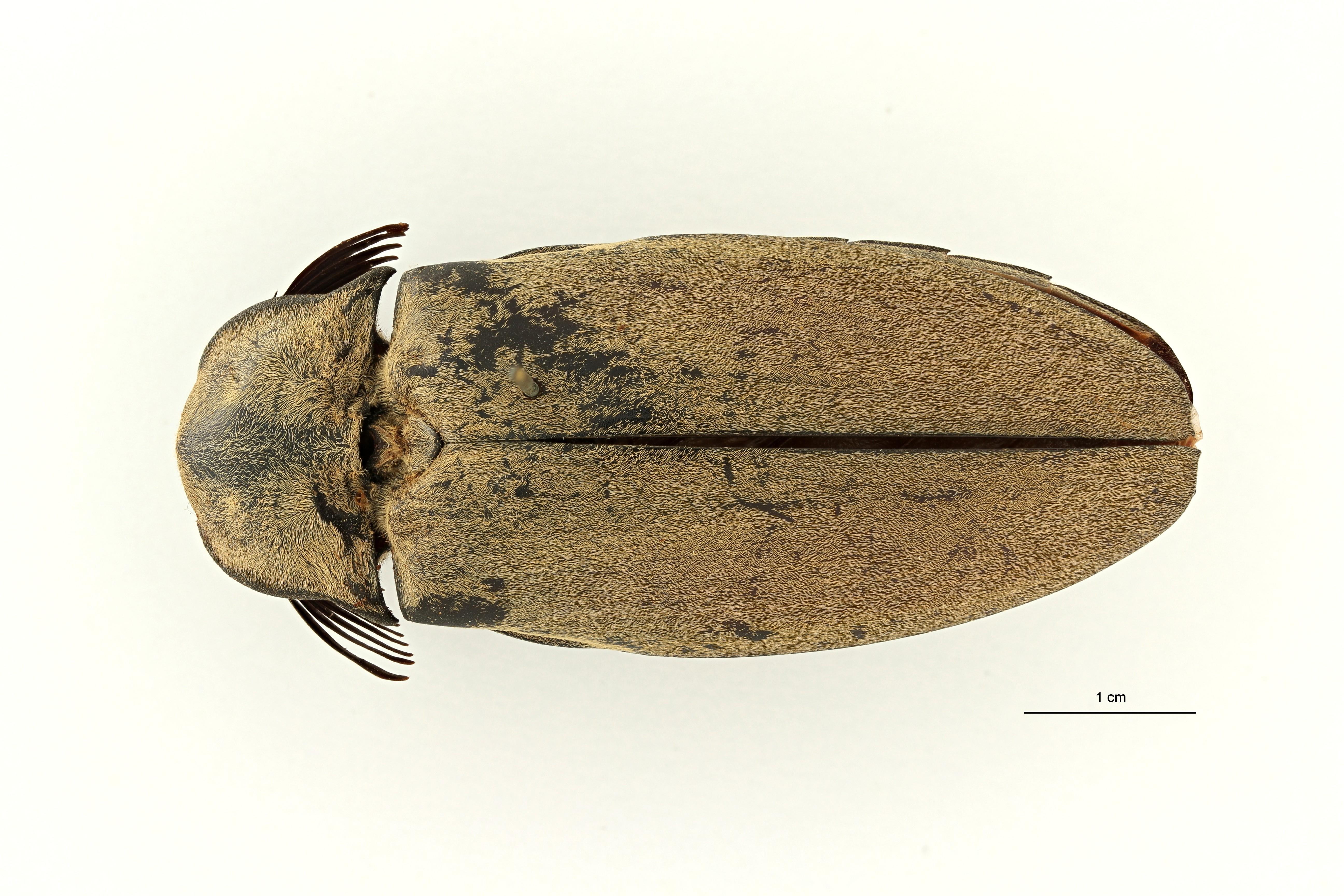 Tetralobus flabellicornis var cinereus t1 D ZS PMax Scaled.jpeg