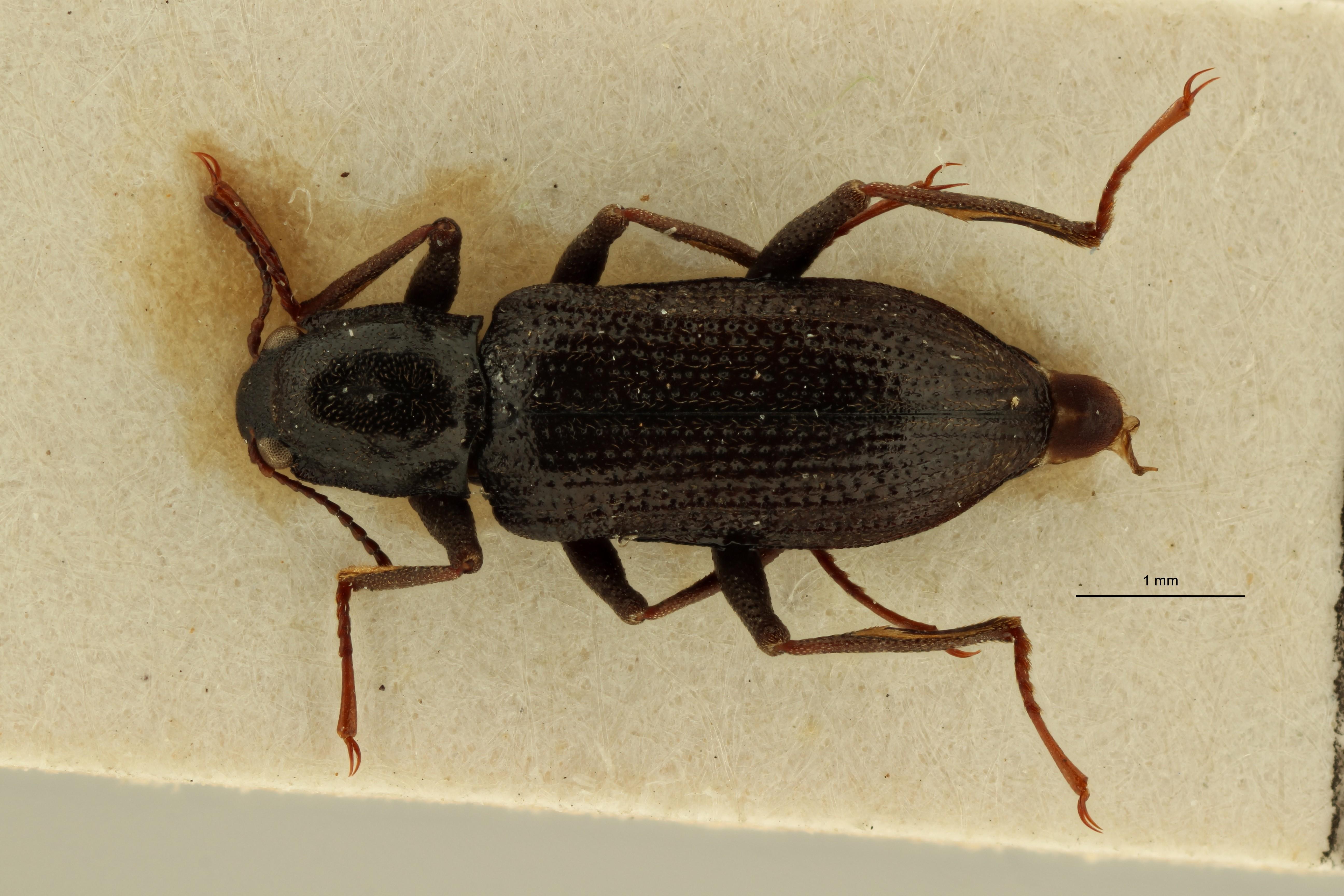 Cylloepus macrelmoides t M D ZS PMax Scaled.jpeg