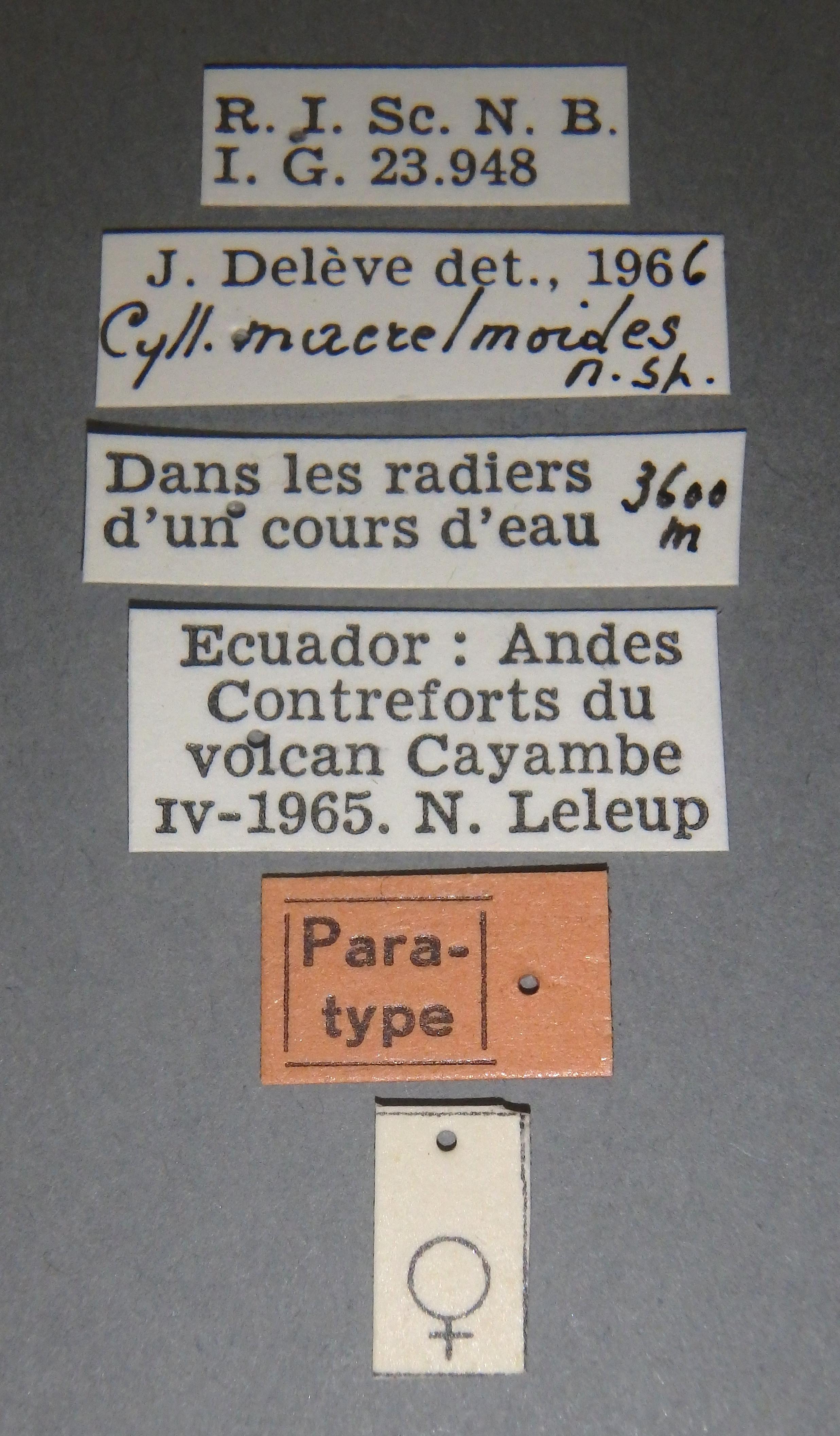 Cylloepus macrelmoides pt F Lb.JPG