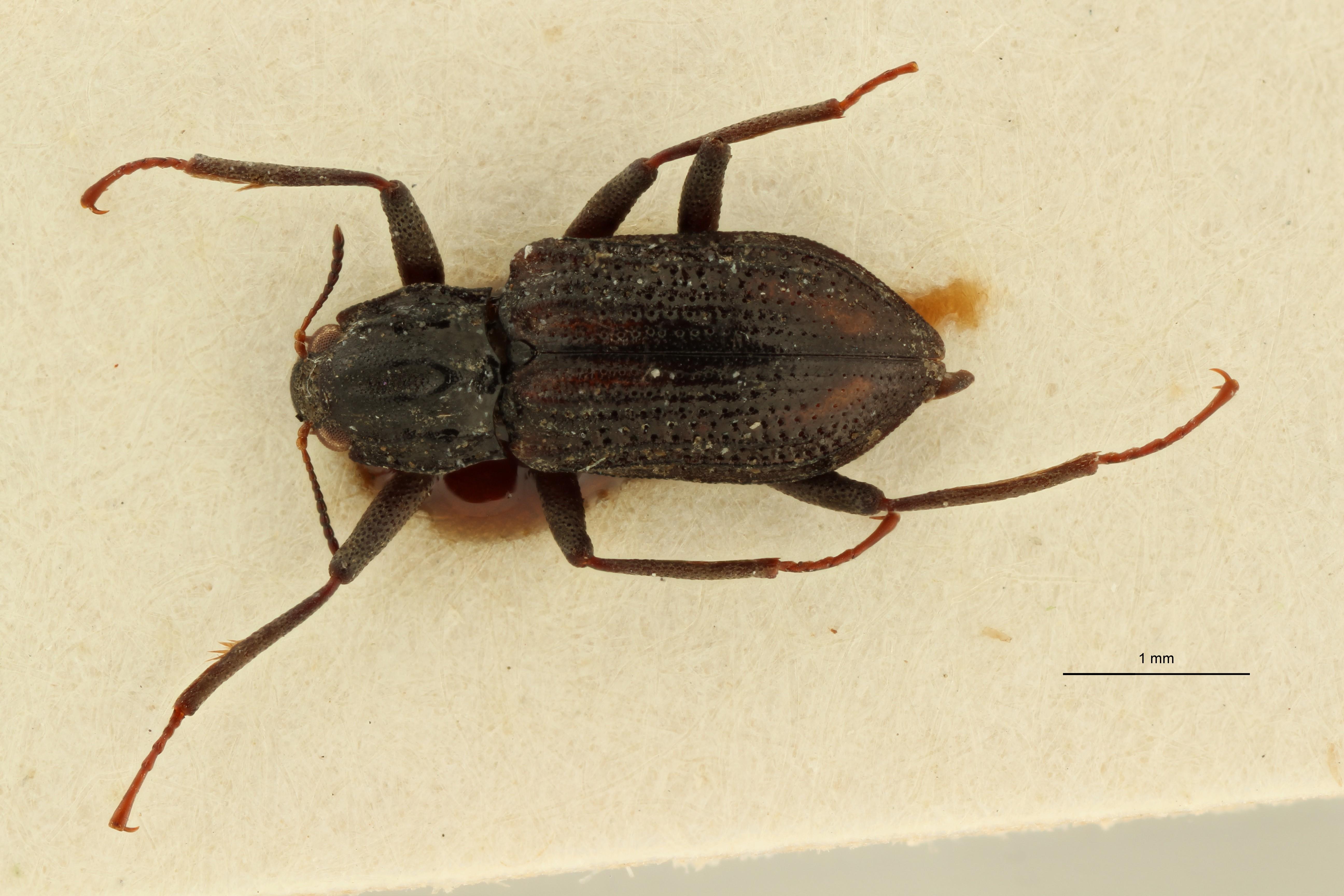 Cylloepus sculpticollis ht M D ZS PMax Scaled.jpeg