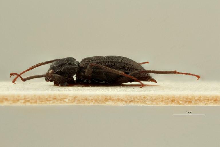 Cylloepus sculpticollis ht M L ZS PMax Scaled.jpeg