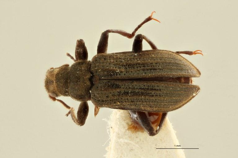 Hexanchorus leleupi ht M D ZS PMax Scaled.jpeg