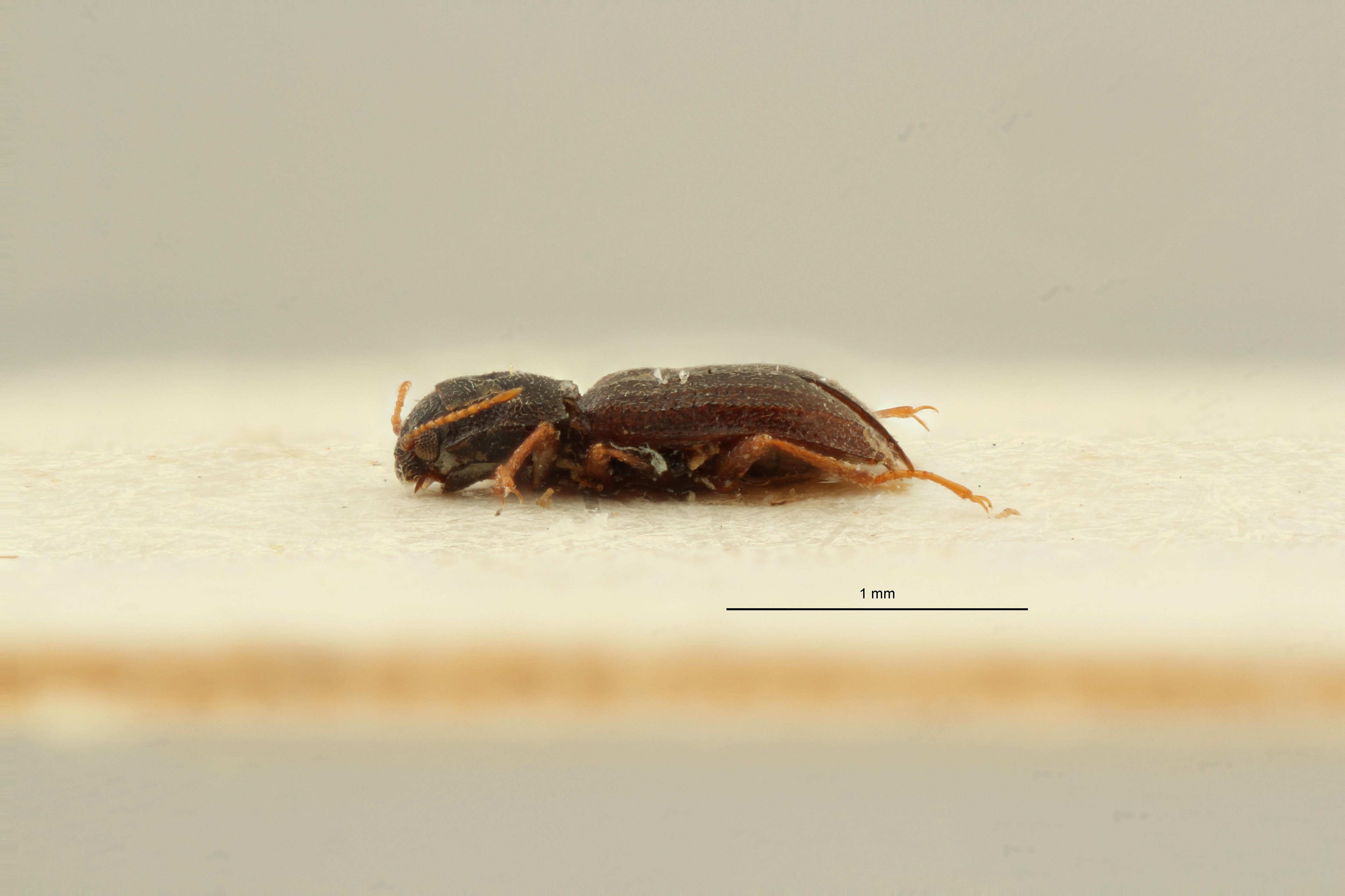 Microcylloepus chilensis pt L ZS PMax Scaled.jpeg