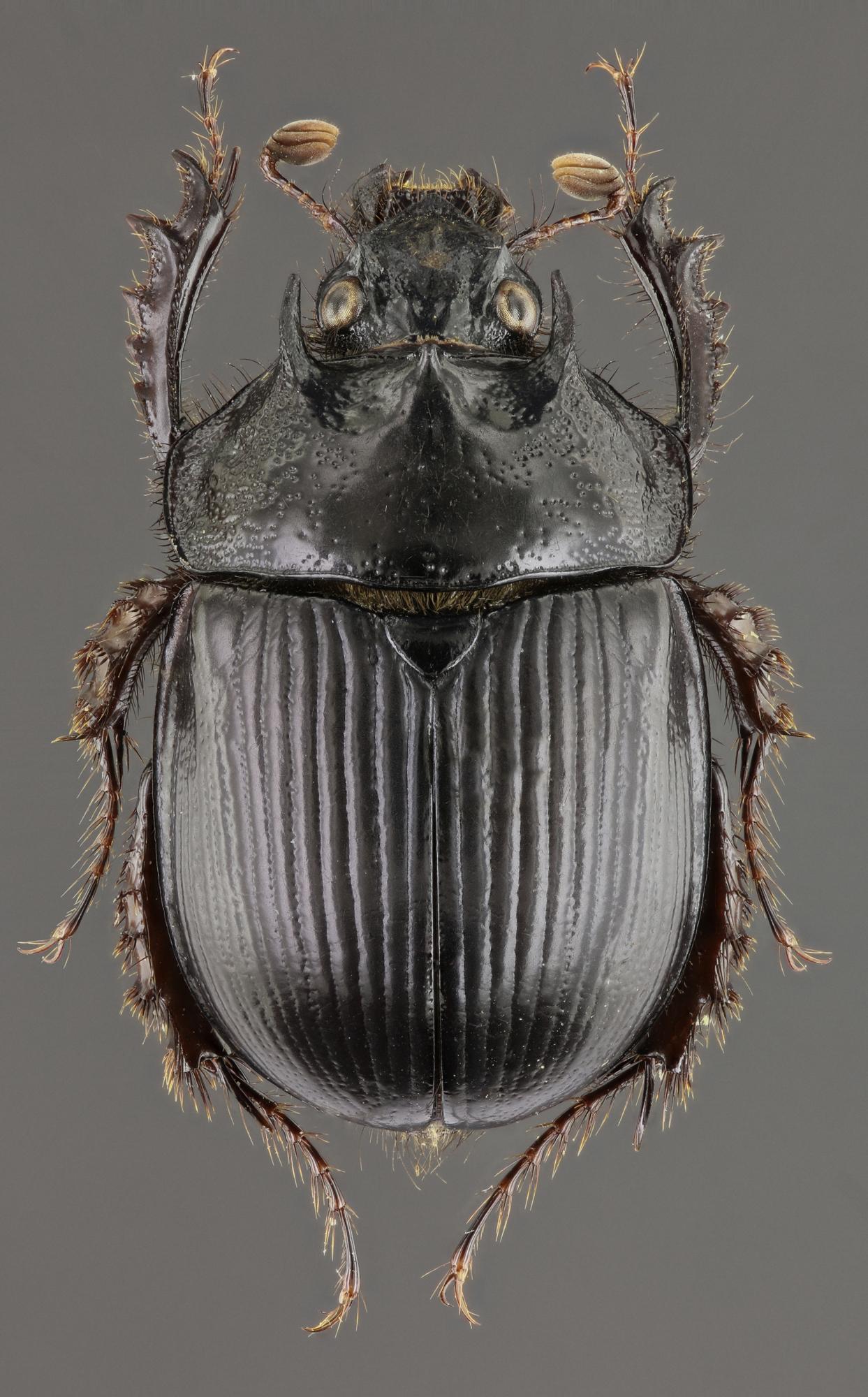 Typhaeus typhoeoides 48073zs04.jpg