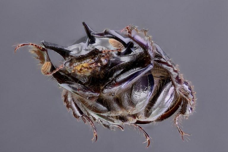 Typhaeus typhoeoides 47851zs04.jpg