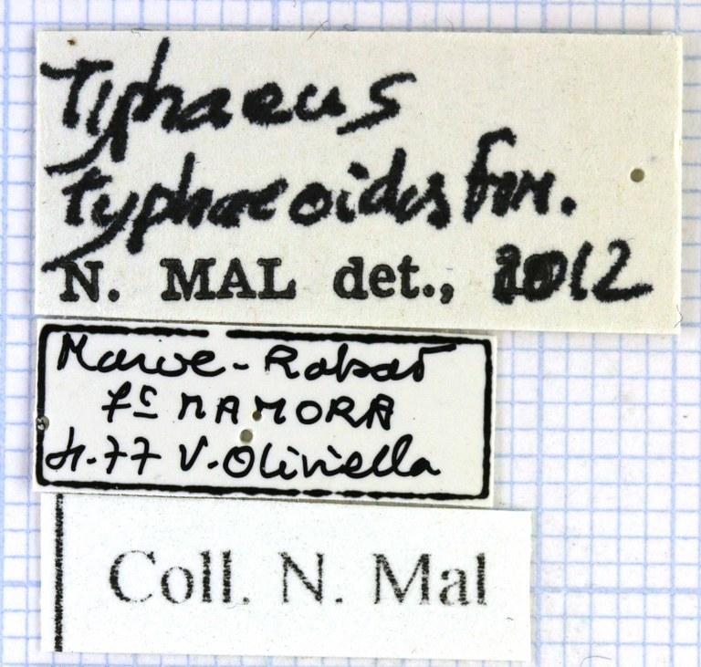 Typhaeus typhoeoides 48069.jpg