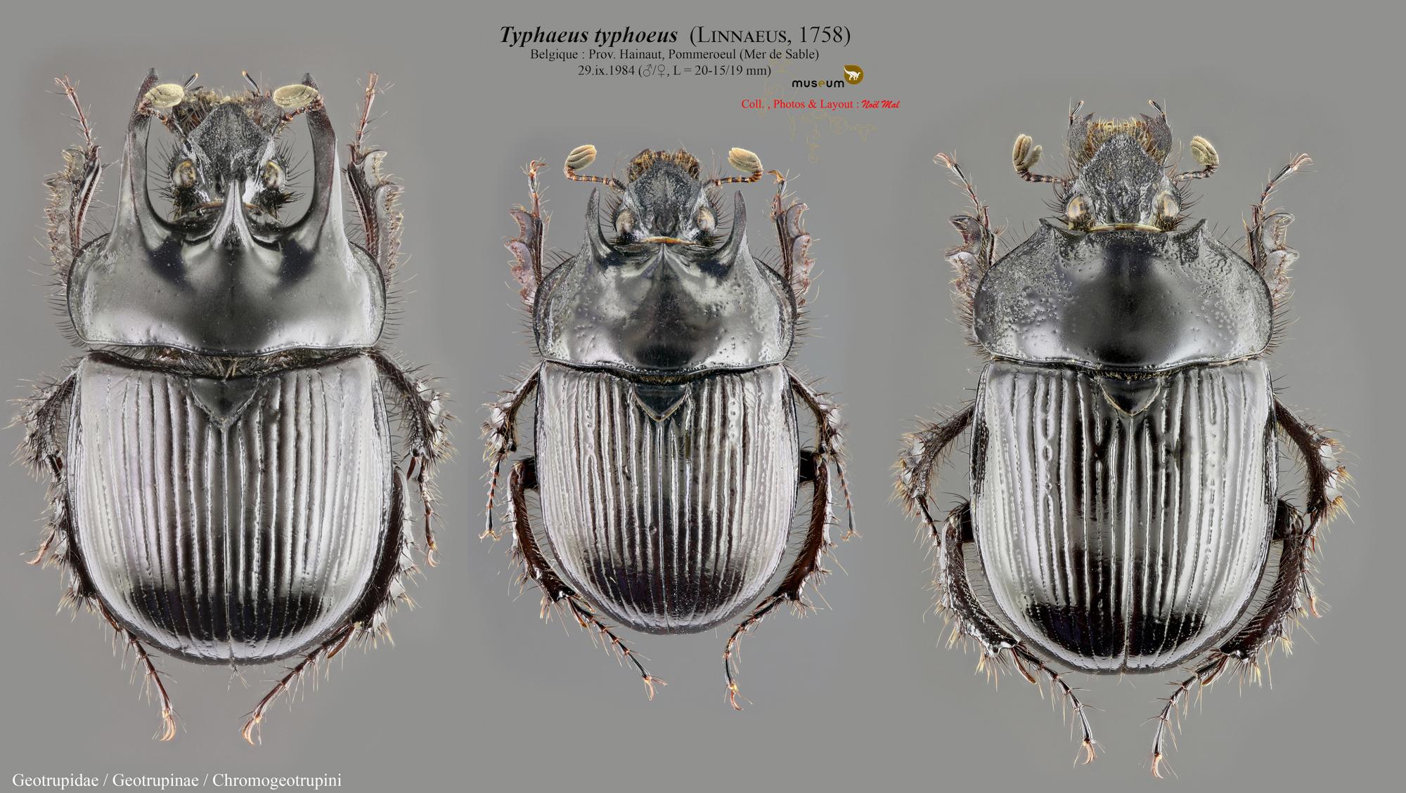 Typhaeus typhoeus.jpg