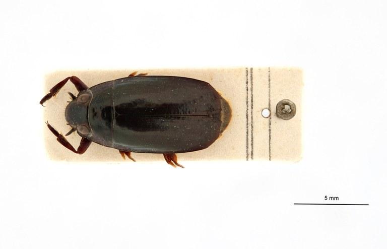 Macrogyrus leopoldi pt D.jpg