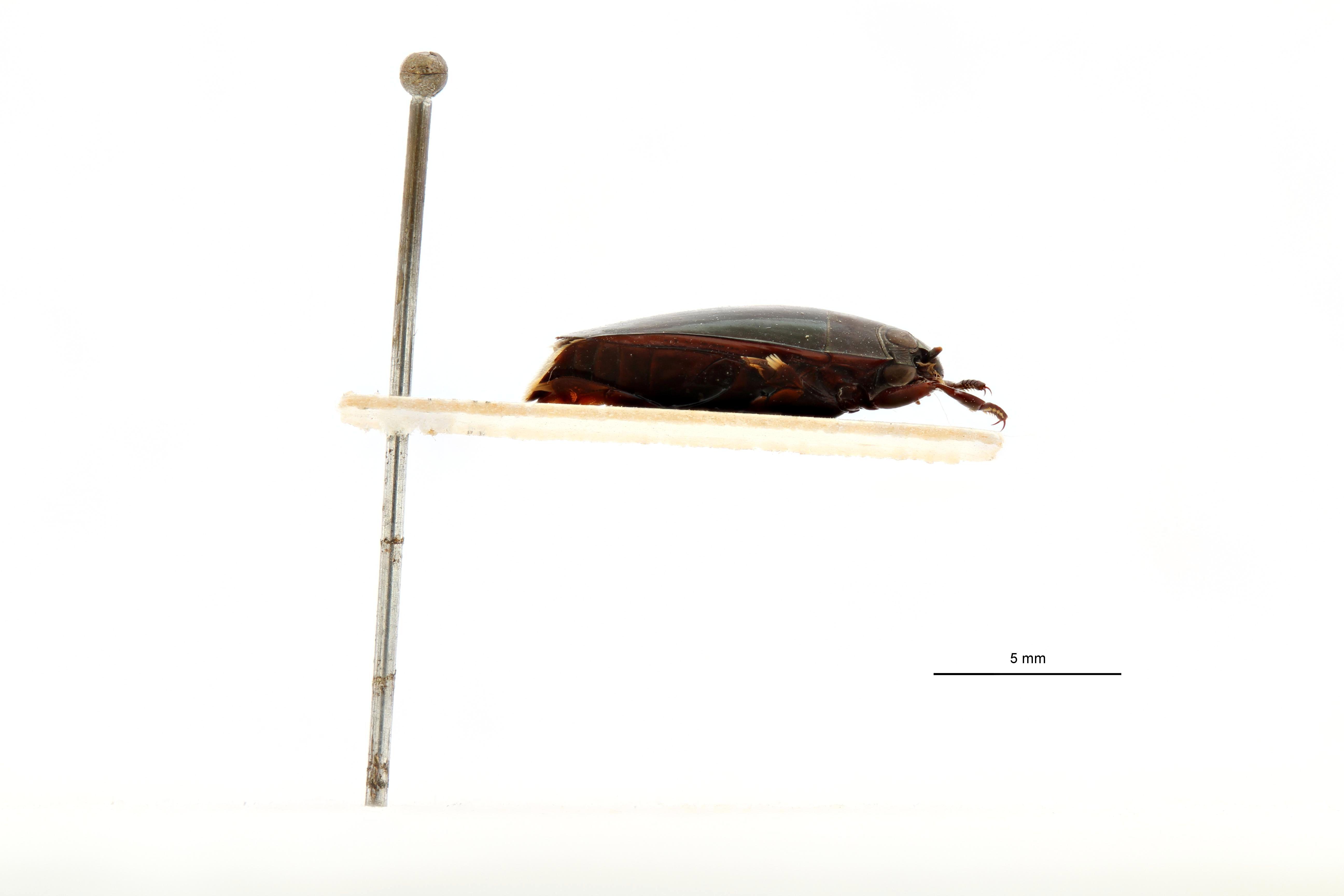 Macrogyrus leopoldi pt L.jpg