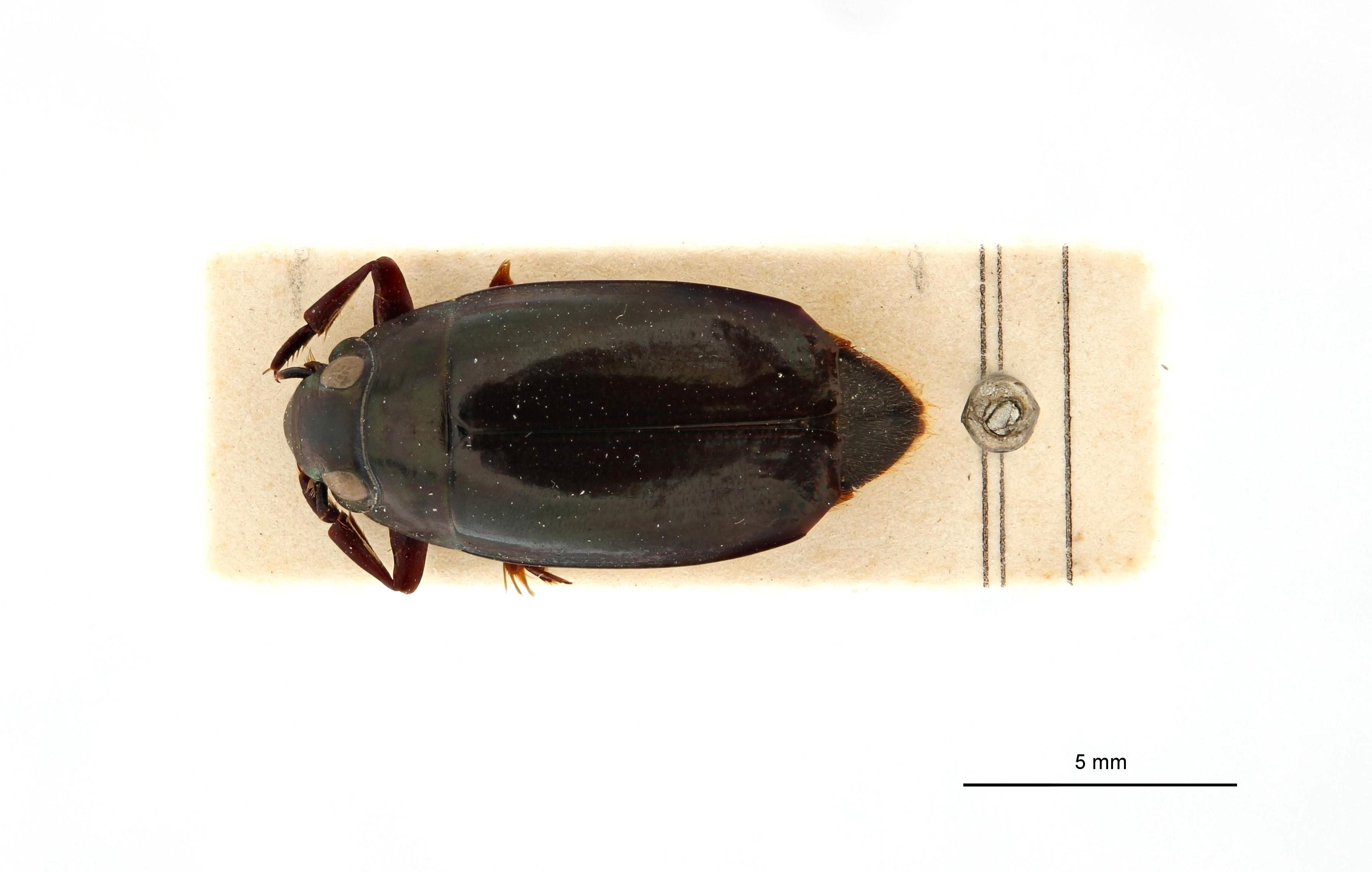 Macrogyrus leopoldi t D.jpg