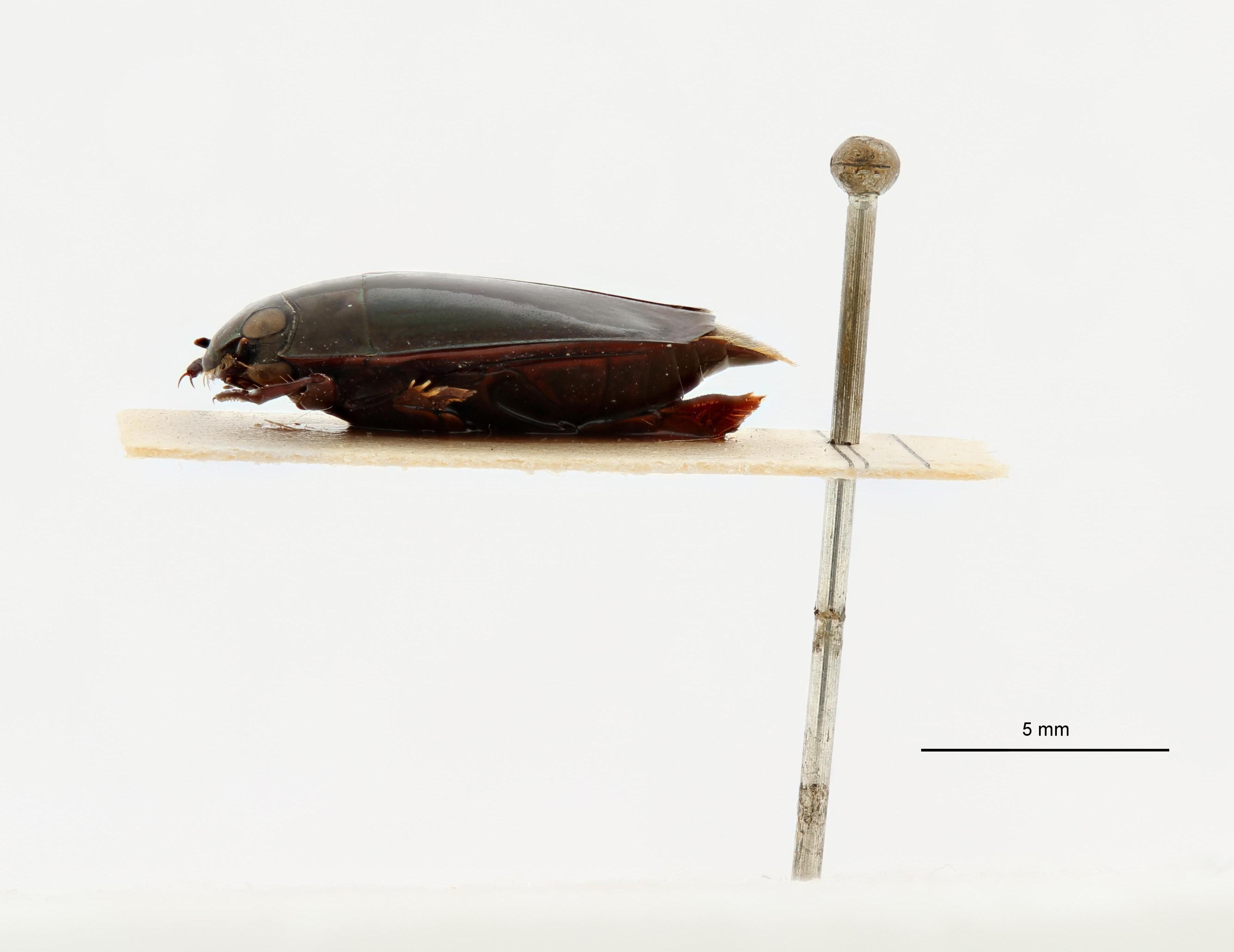 Macrogyrus leopoldi t L.jpg