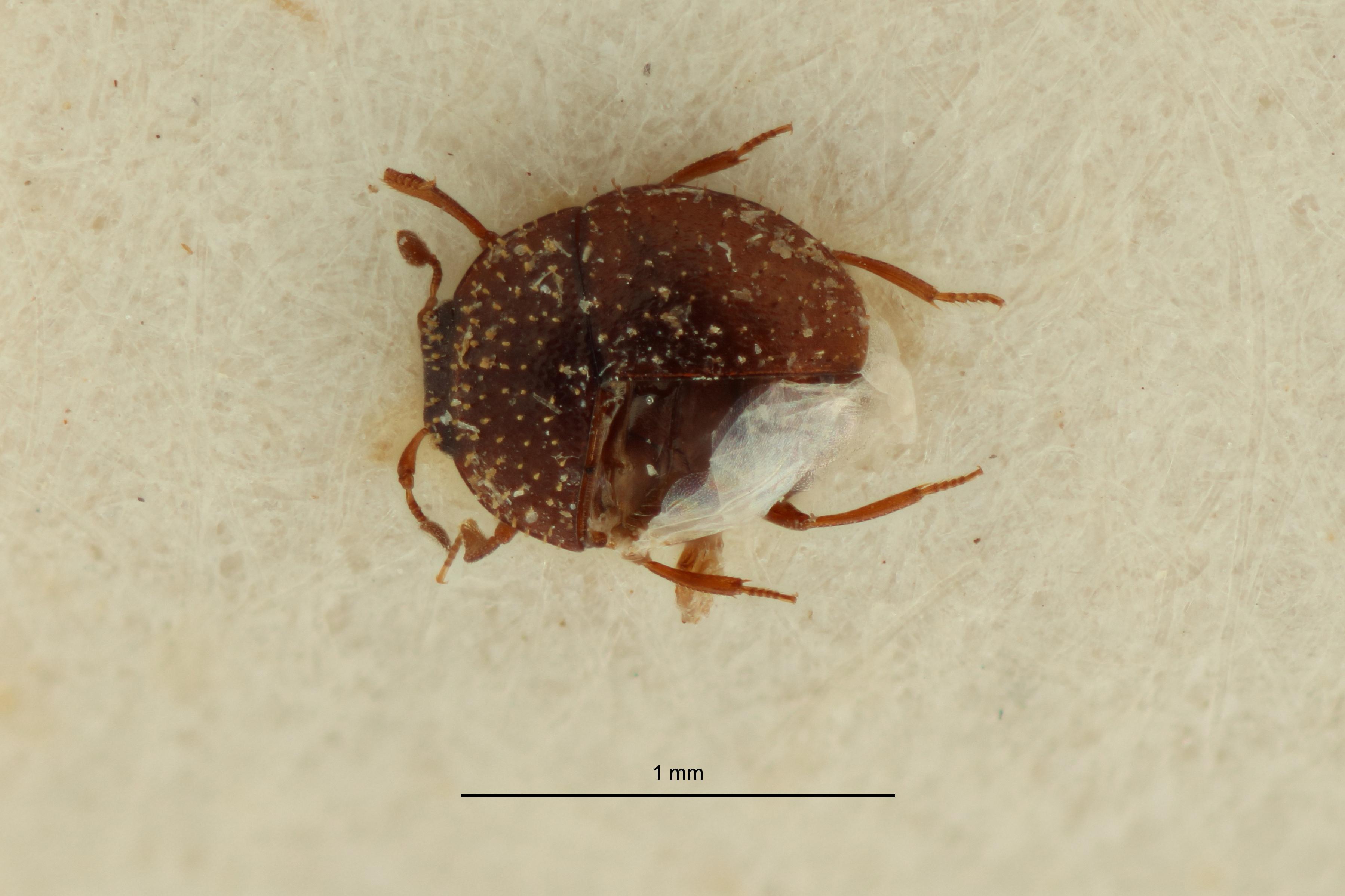 Abraeus (Chaetabraeus) spiculator pt1 D ZS PMax Scaled.jpeg