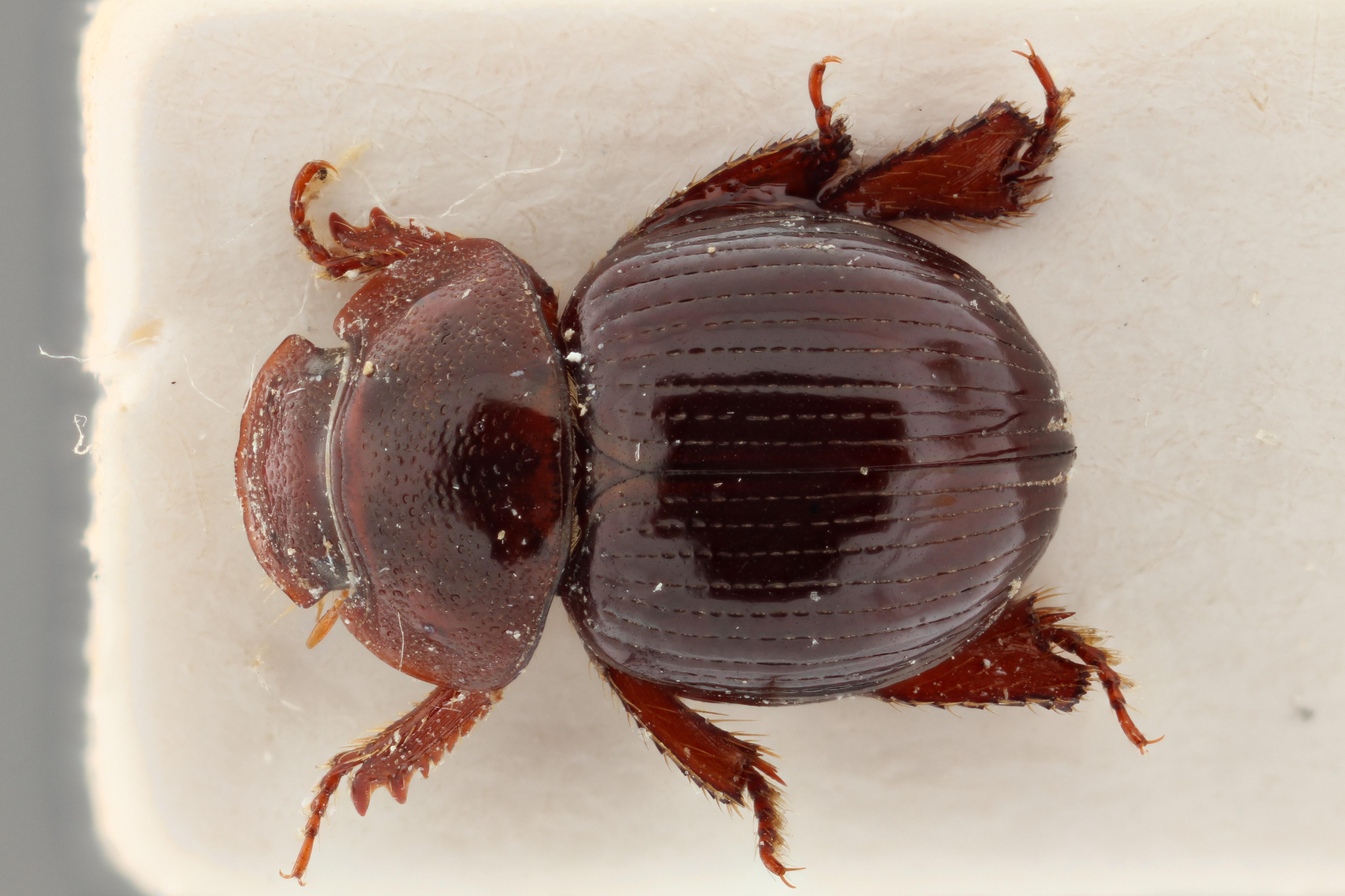 Cloeotus diffundus TYP D ZS PMax.jpg