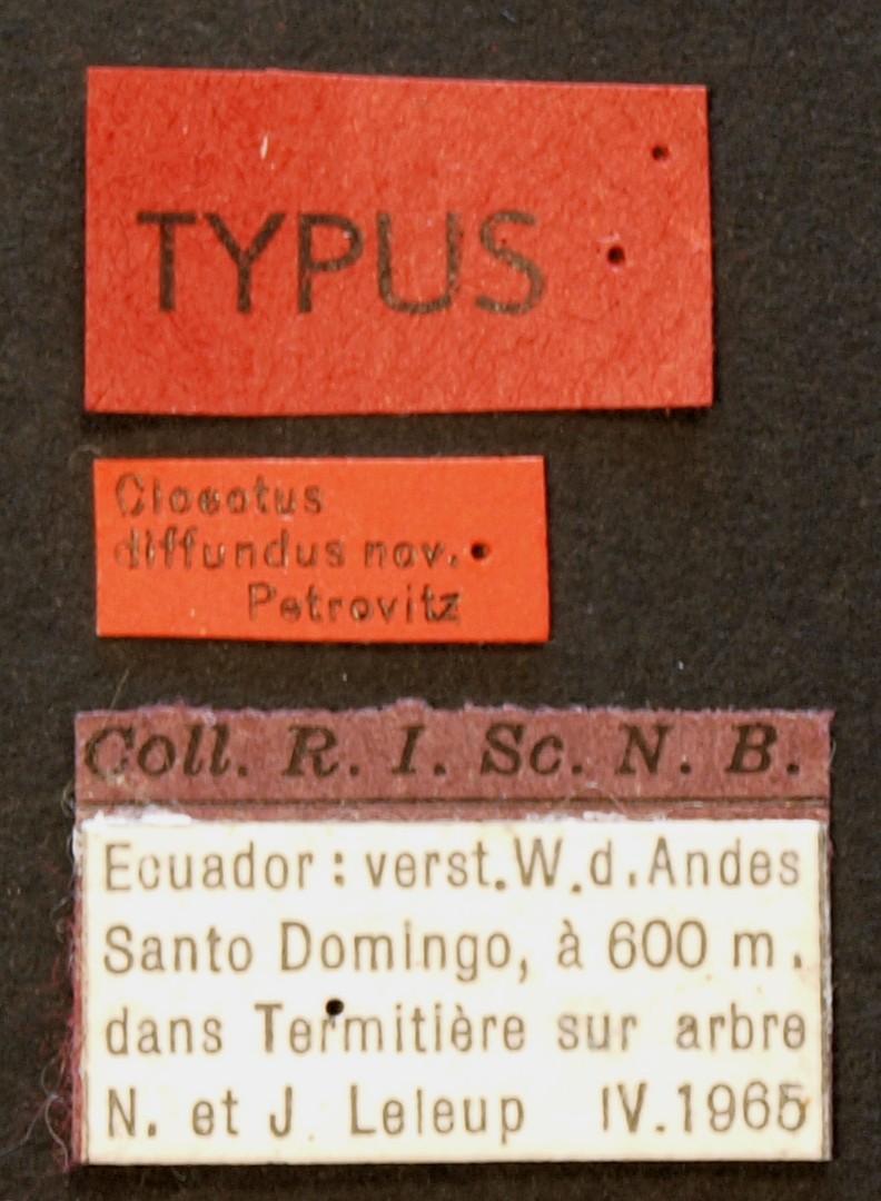 Cloeotus diffundus TYP Lb.JPG