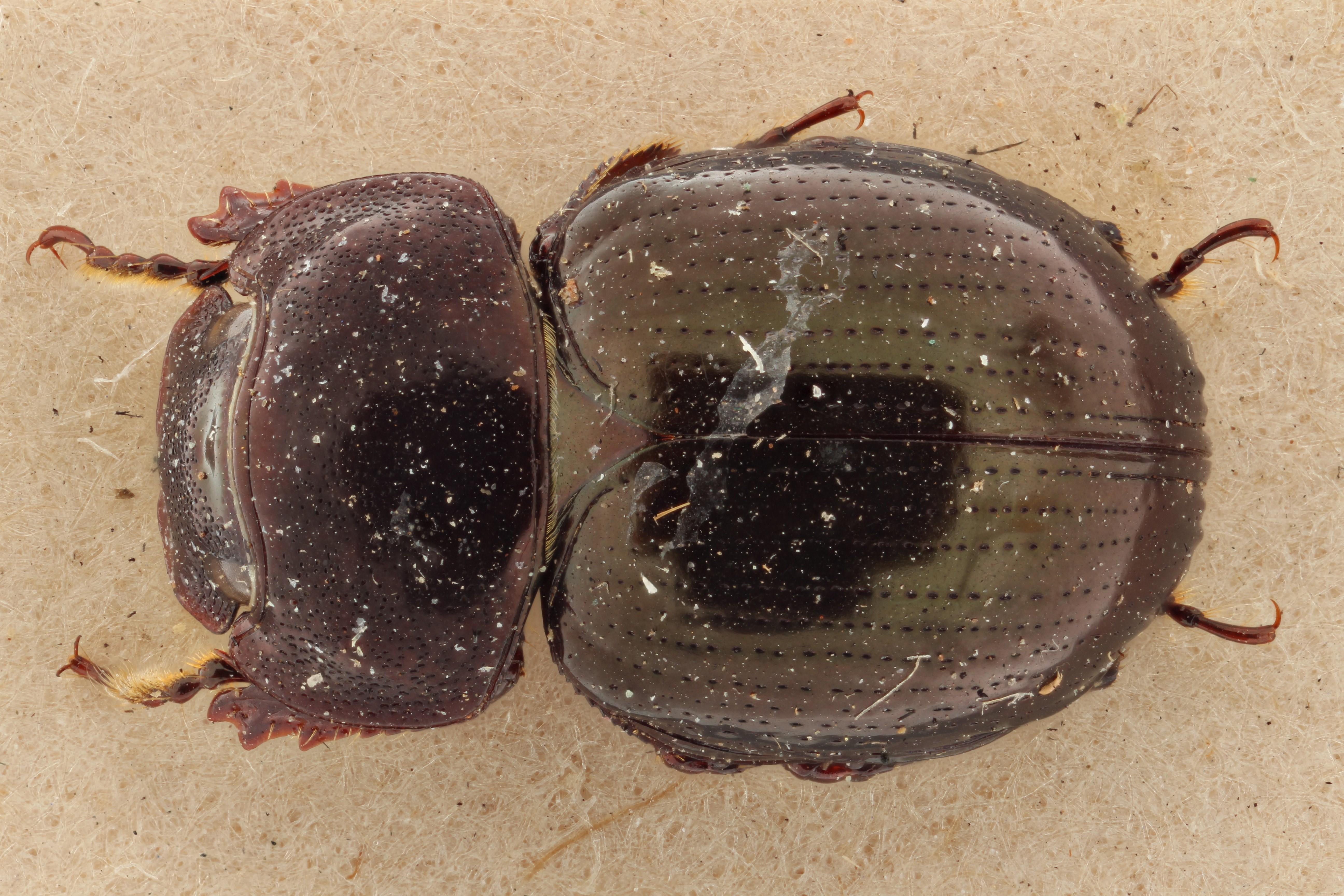 Cloeotus sinuatus PT D ZS PMax.jpg
