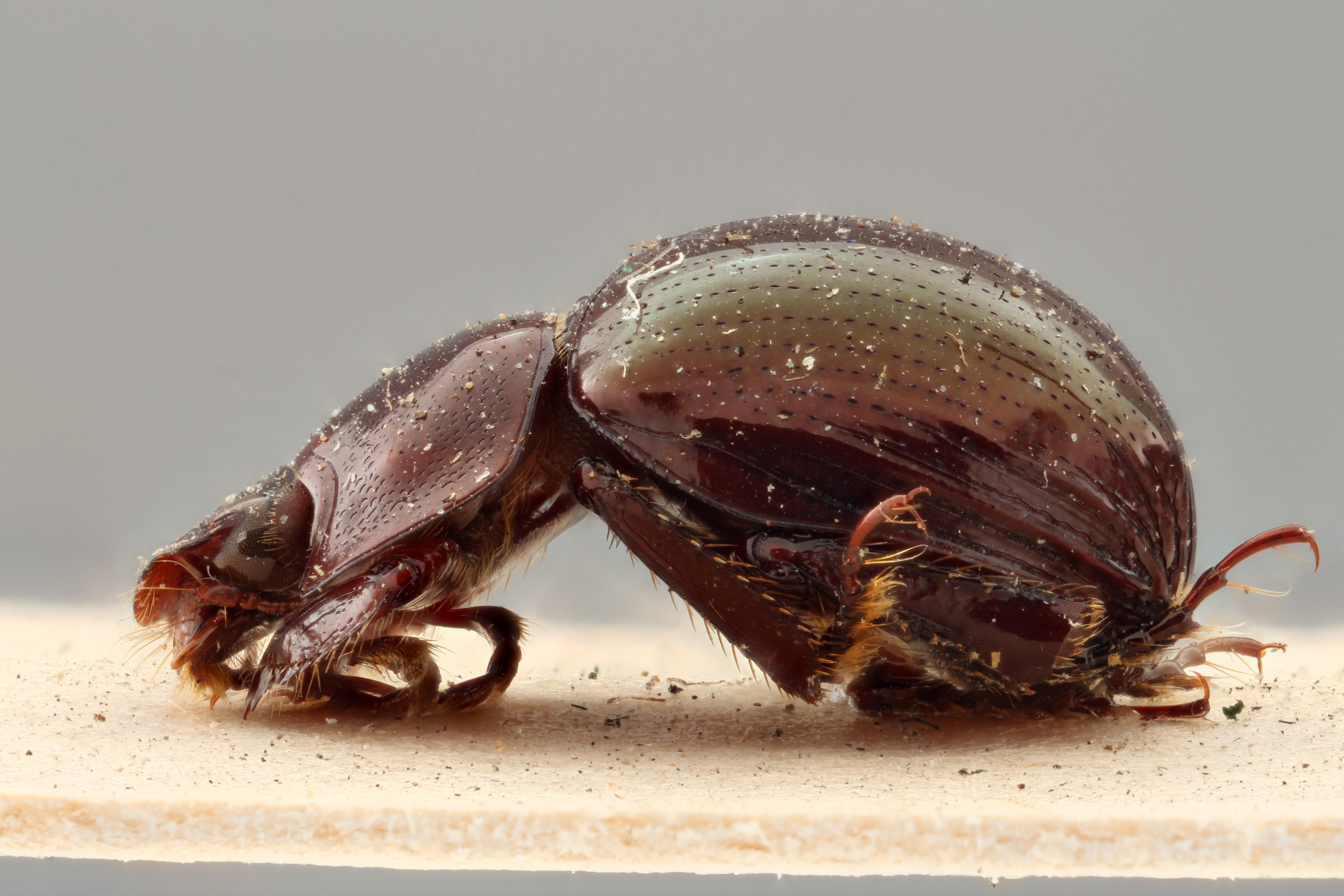 Cloeotus viridipennis PT L ZS PMax.jpg