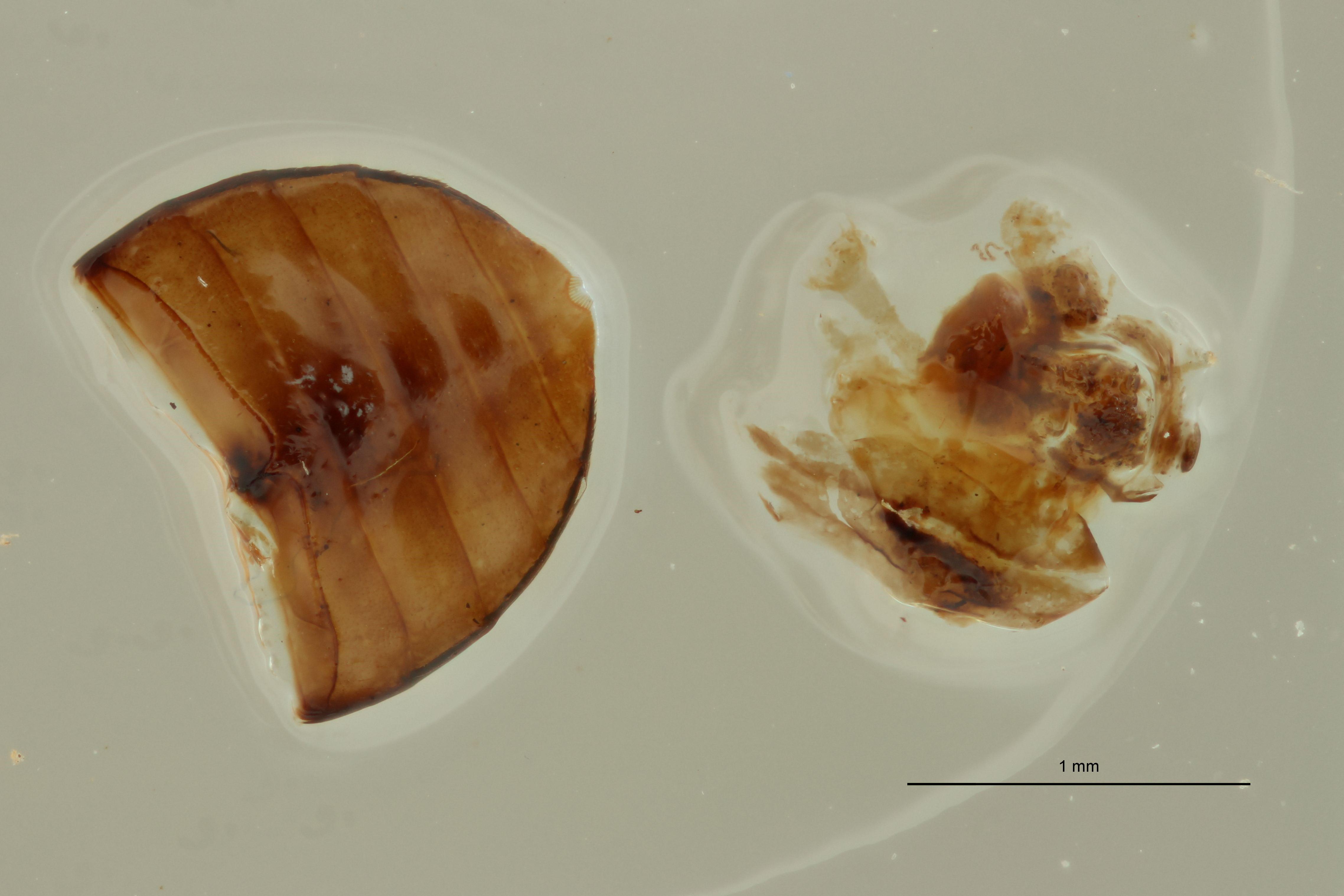 Helochares (Helochares) fuliginosus M t G.jpg