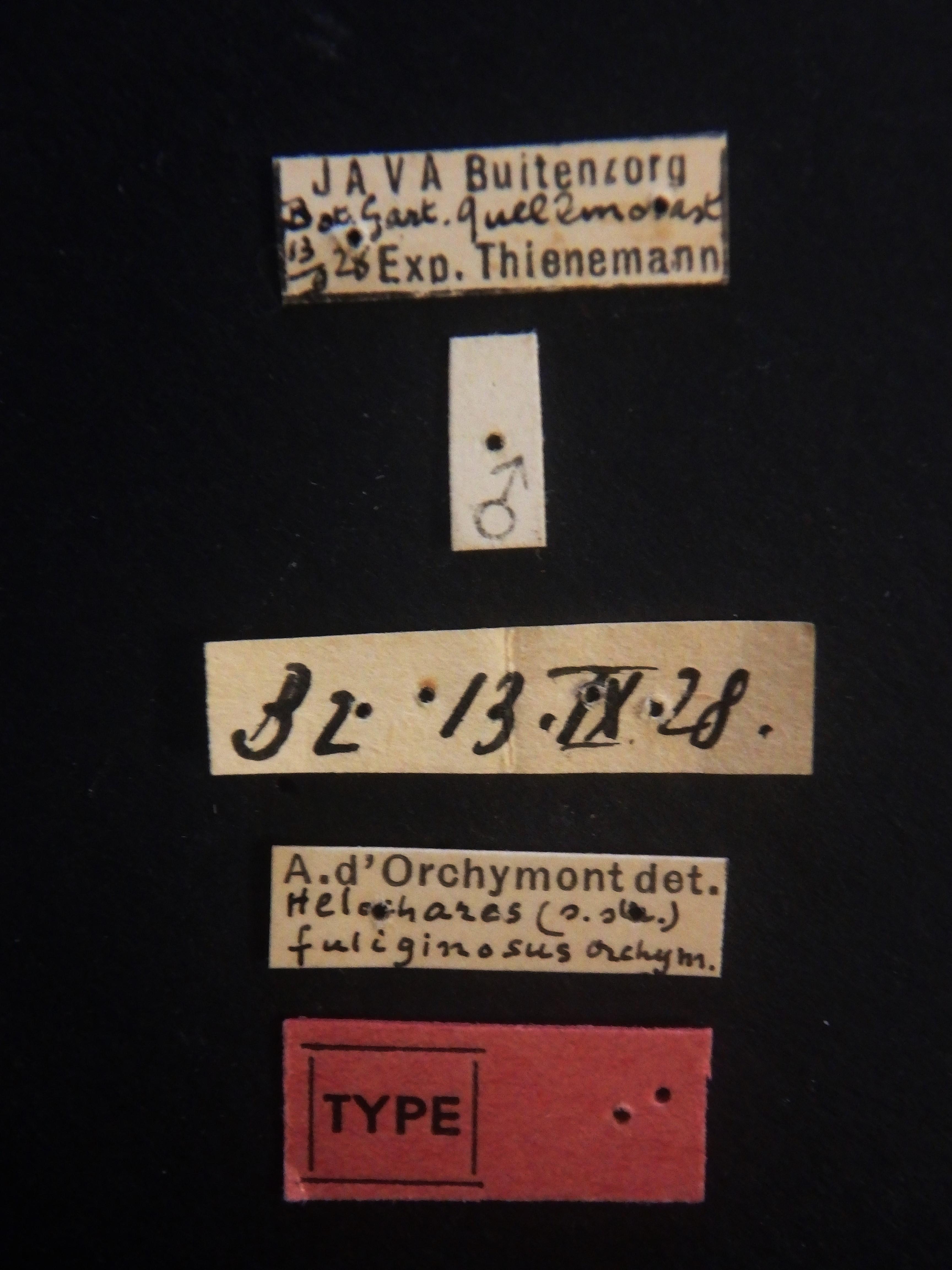 Helochares (Helochares) fuliginosus M t Labels.JPG