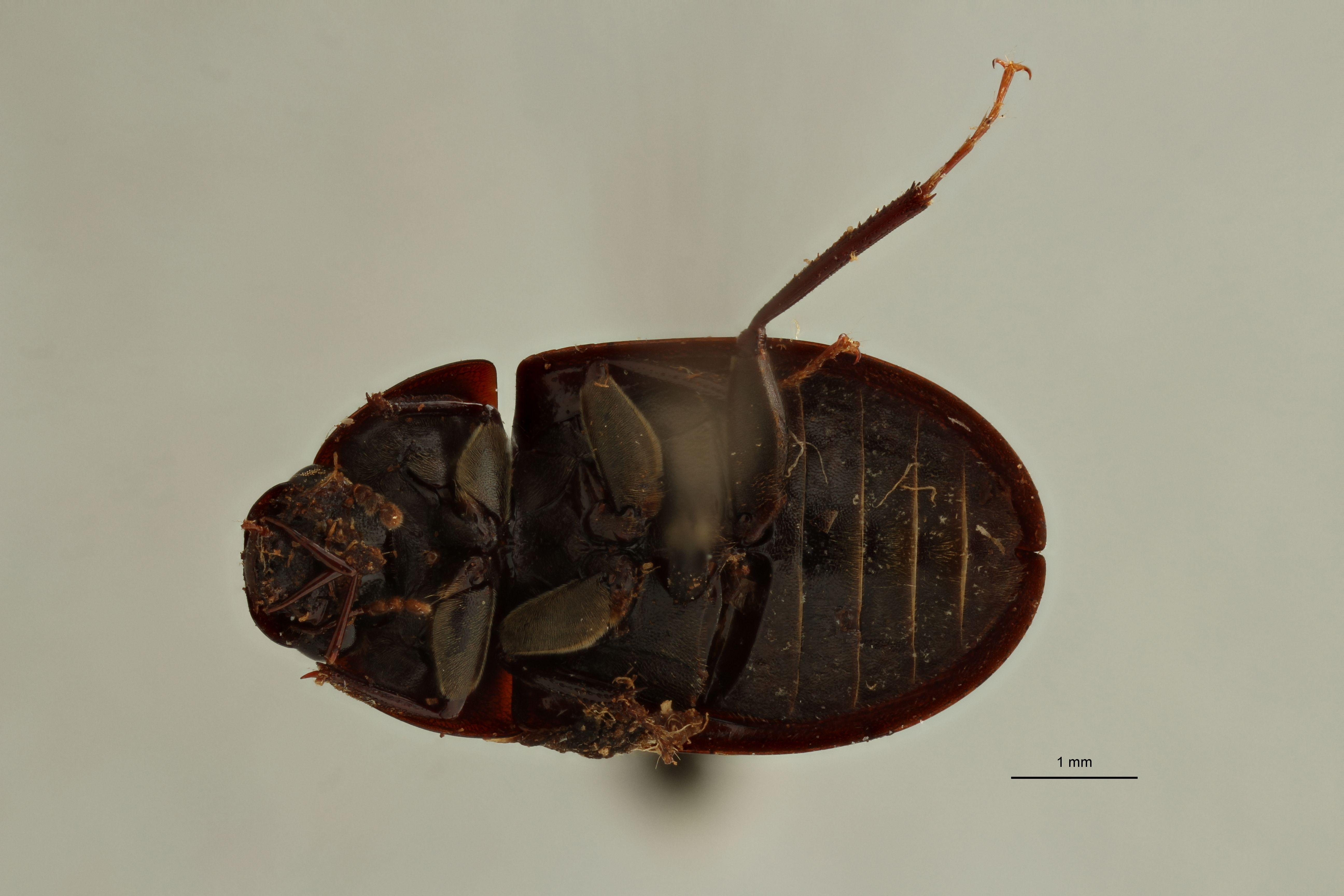 Helochares (Helochares) guadelupensis M pt V.jpg