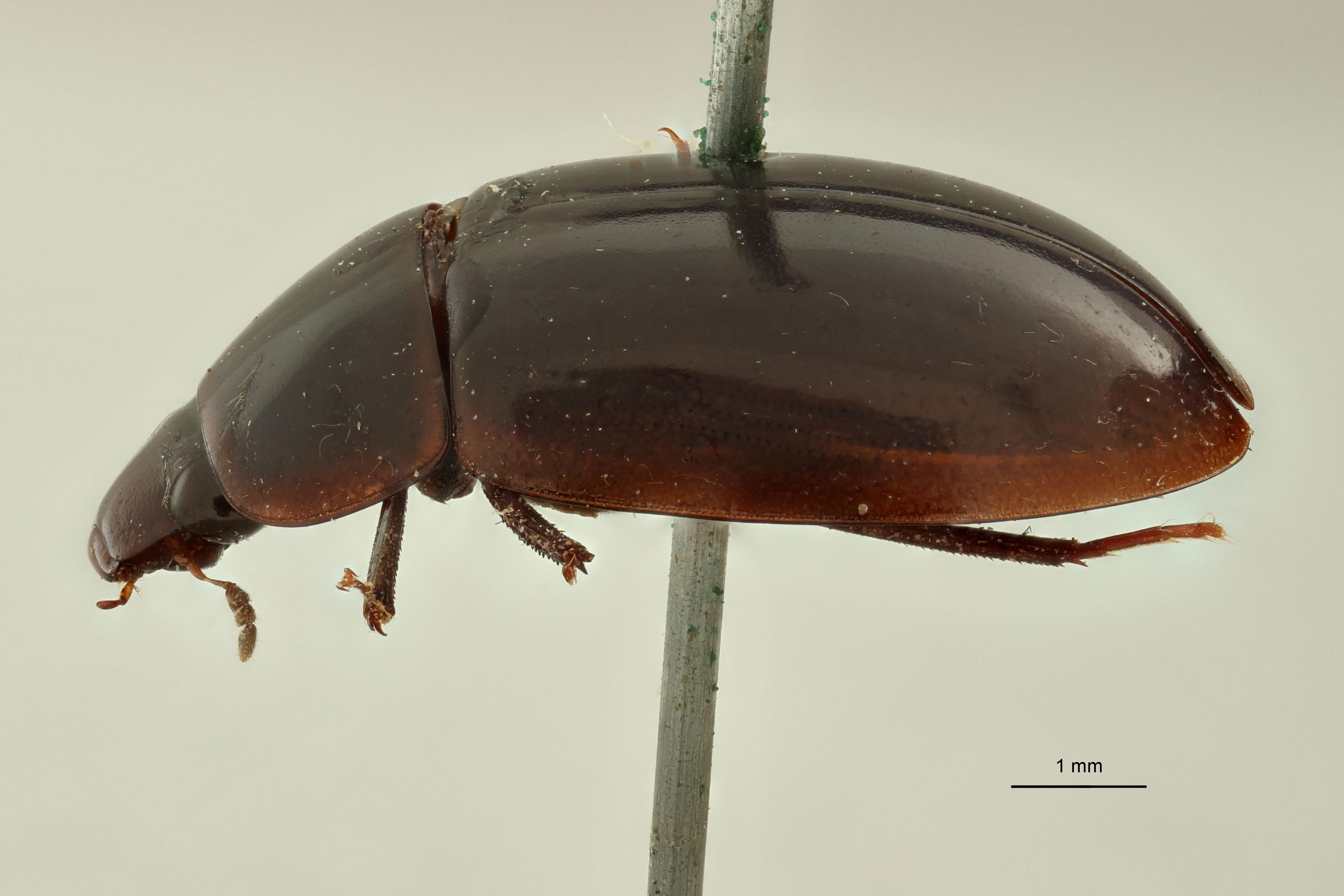 Helochares (Helochares) inornatus F t L.jpg