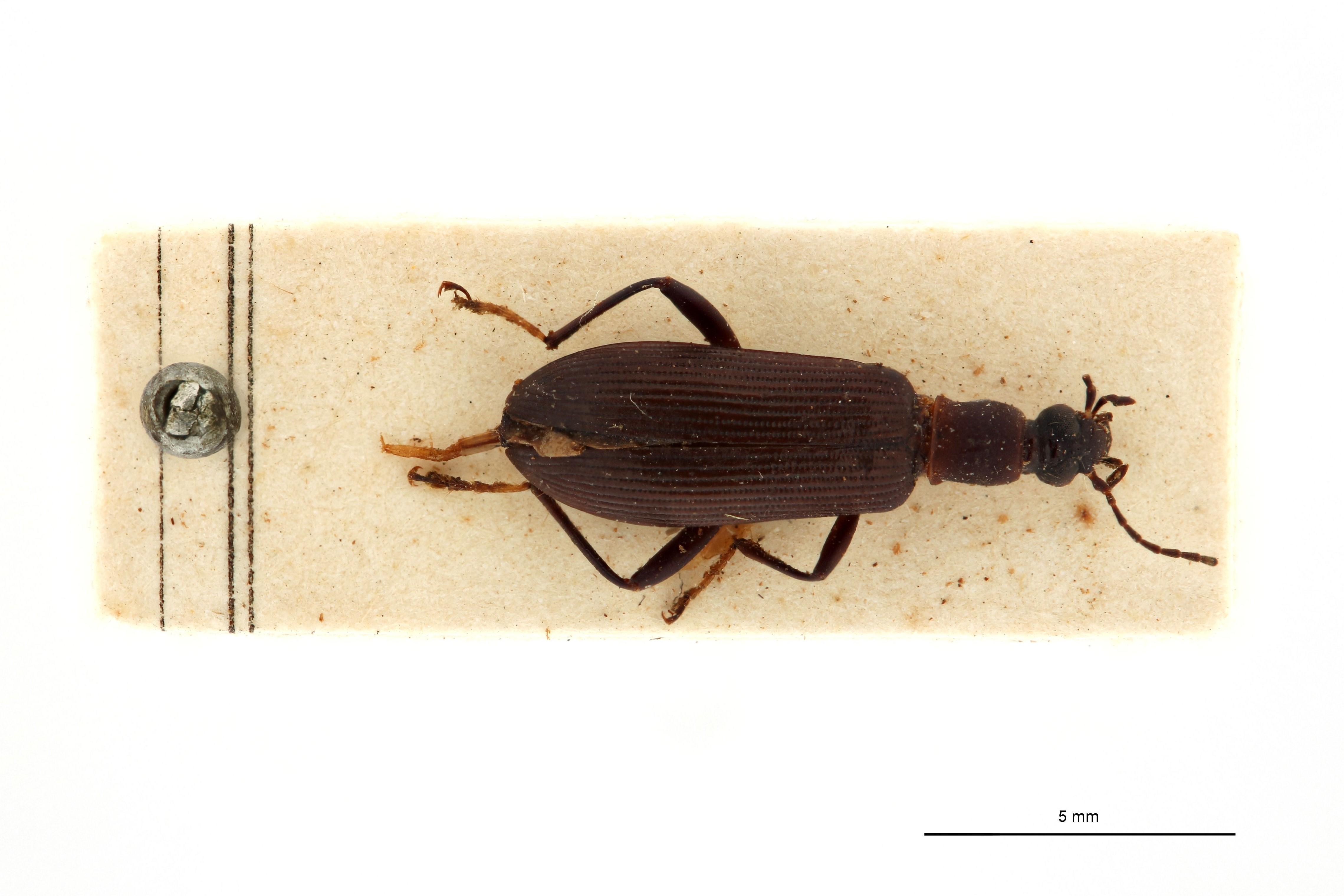 Sora bicoloritarsis t D.jpg