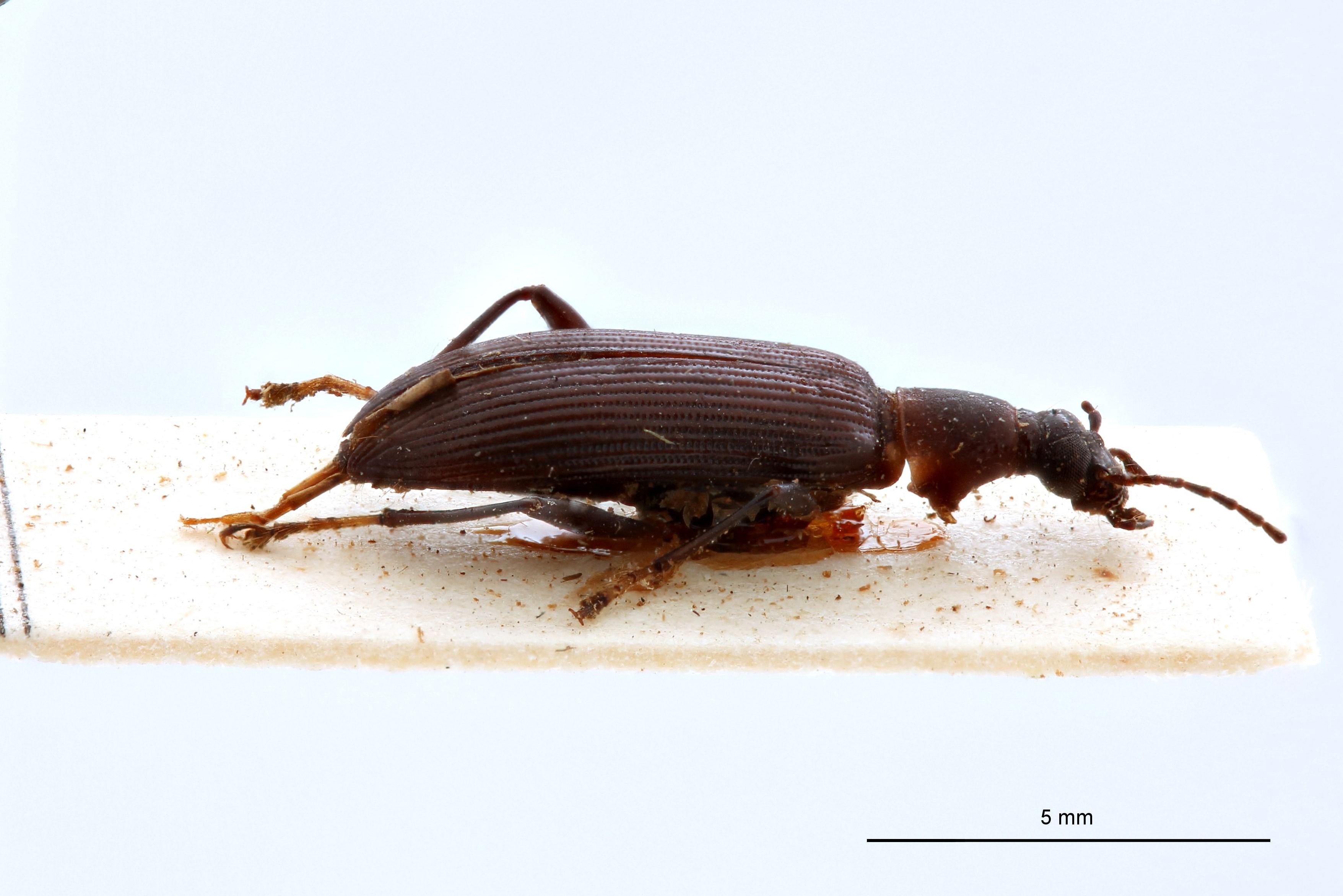 Sora bicoloritarsis t L.jpg