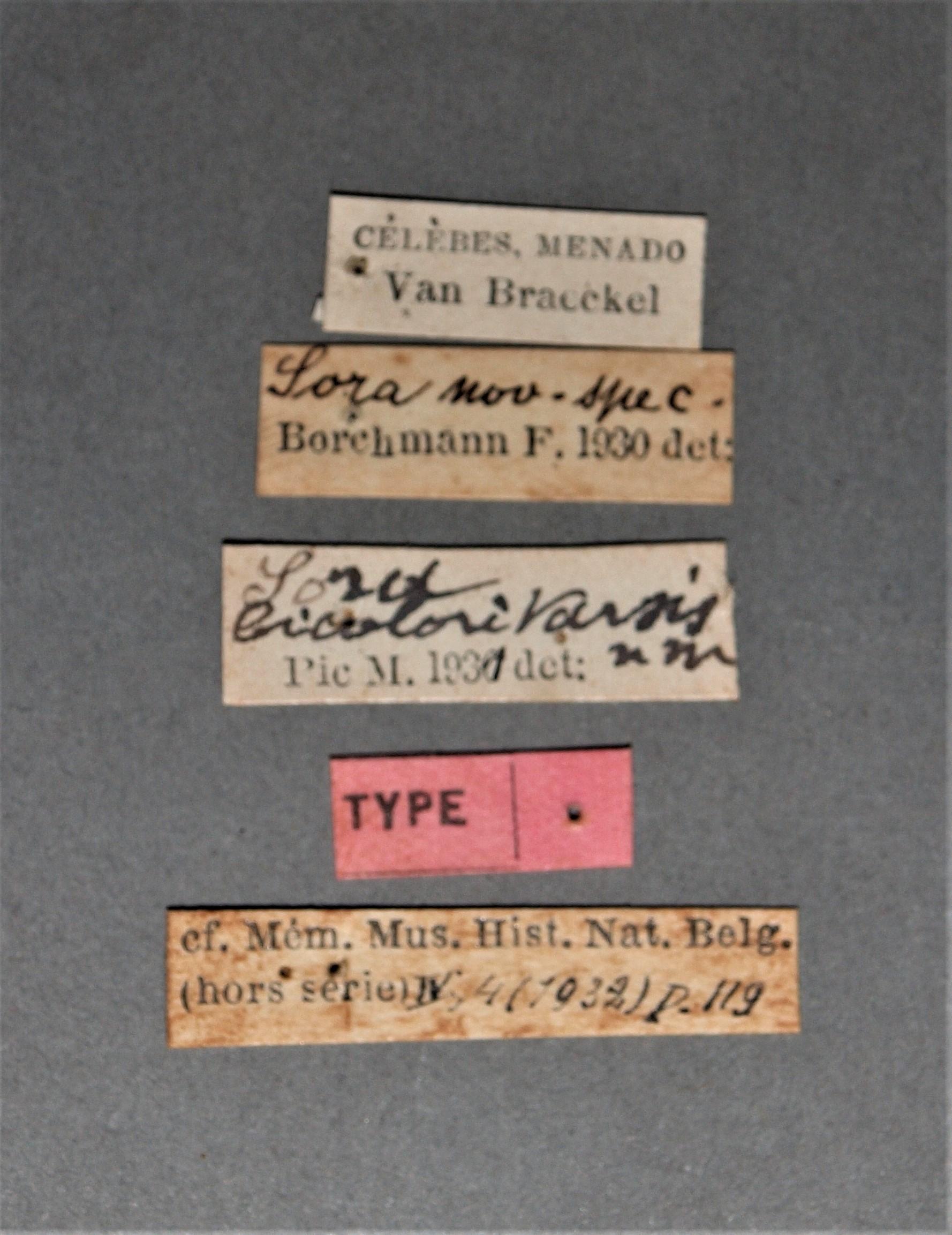 Sora bicoloritarsis t.JPG