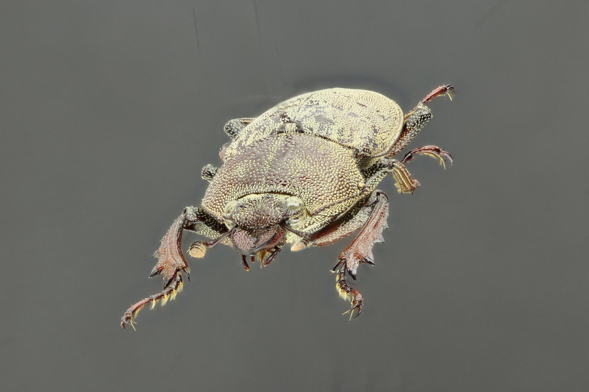 Cacostomus squamosus 60384zs31.jpg