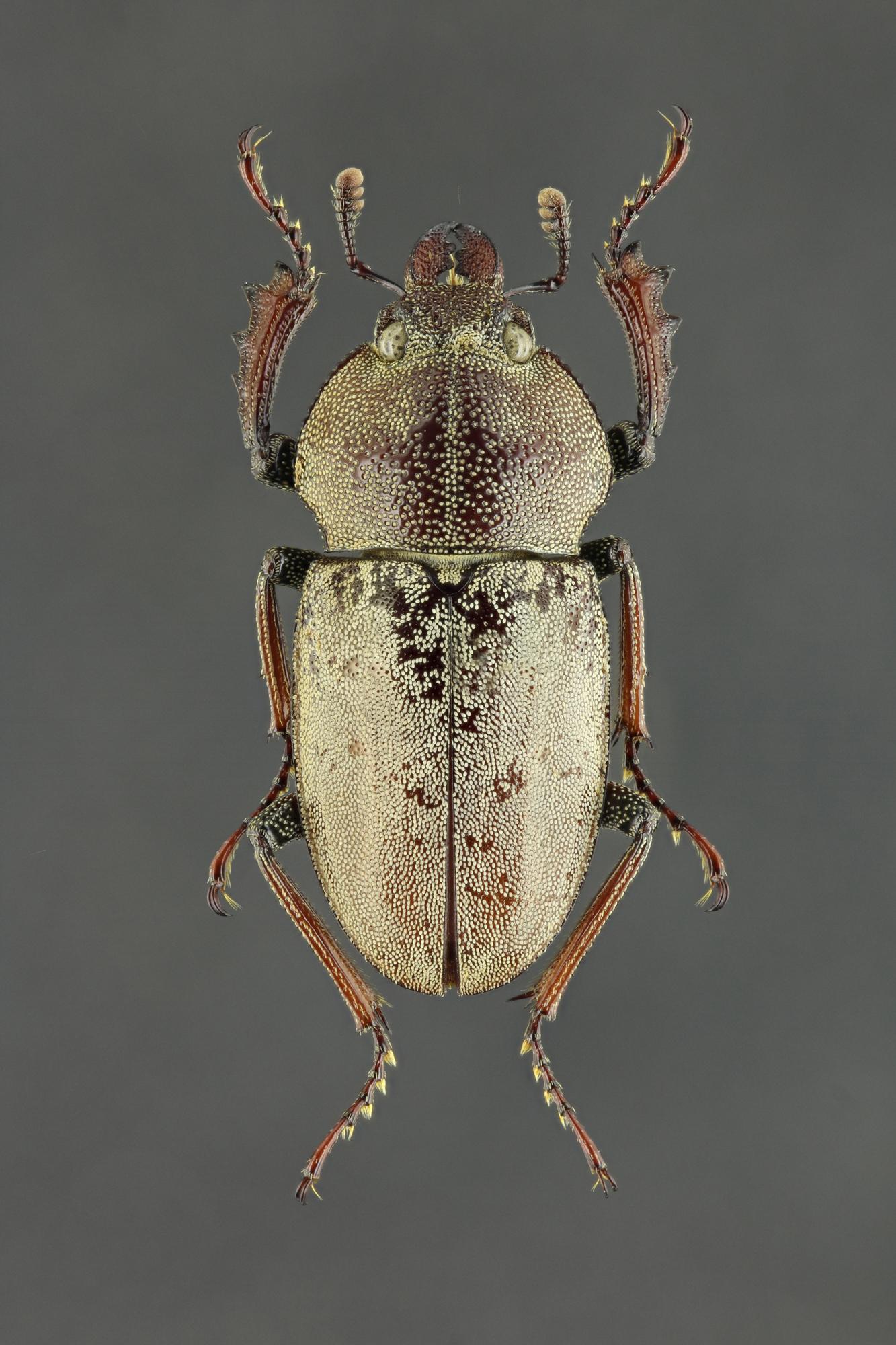 Cacostomus squamosus 60446zs62.jpg